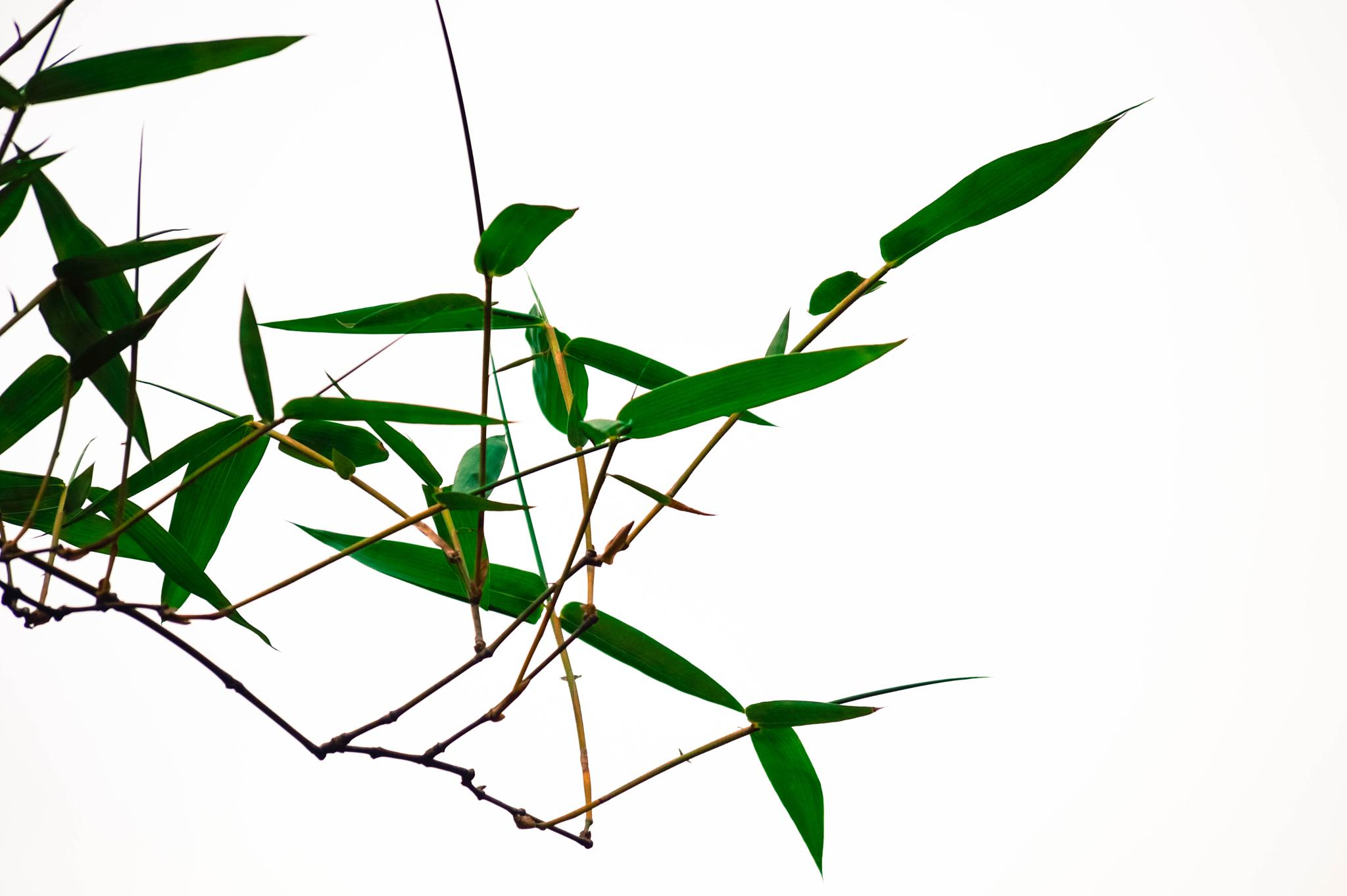 Leaves of Bamboo by Mirza N. Islam