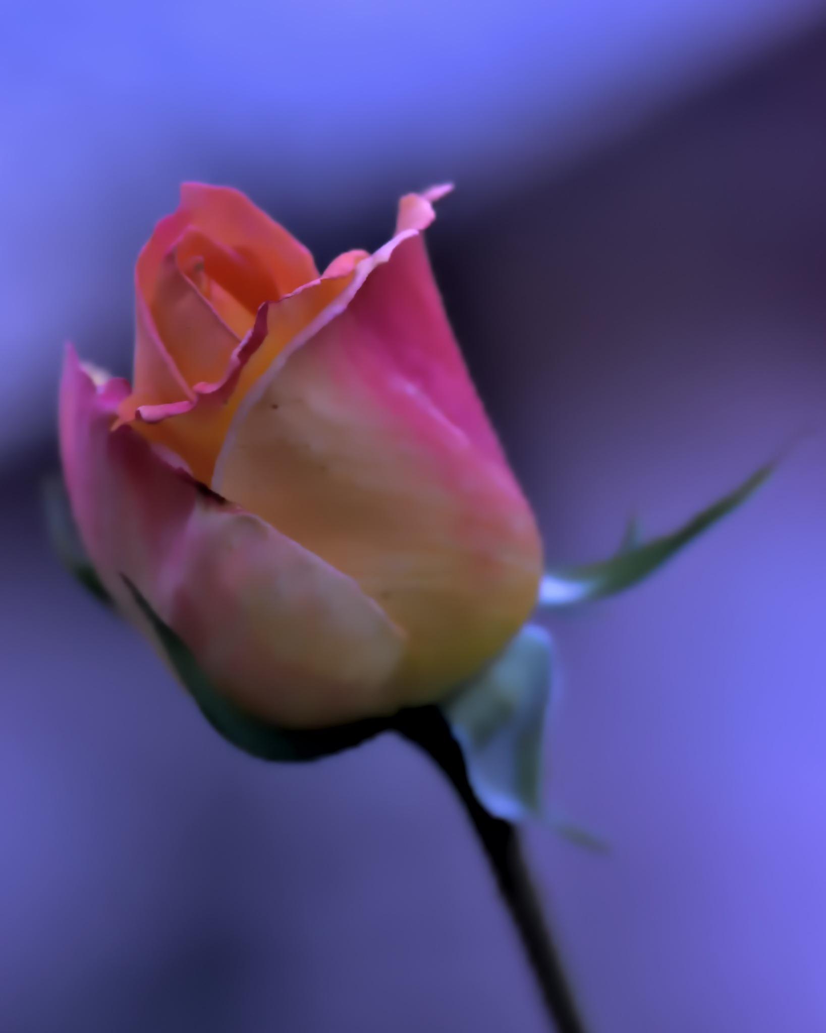 a rose by ioana