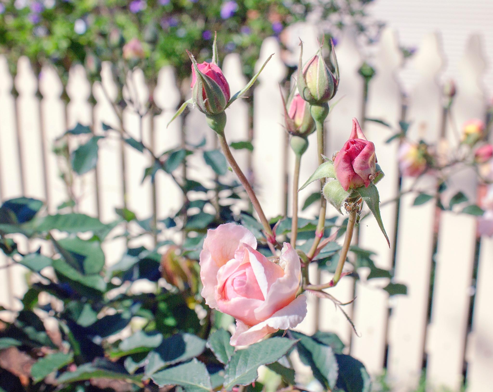 Rose Garden by Seven Treasures Photography