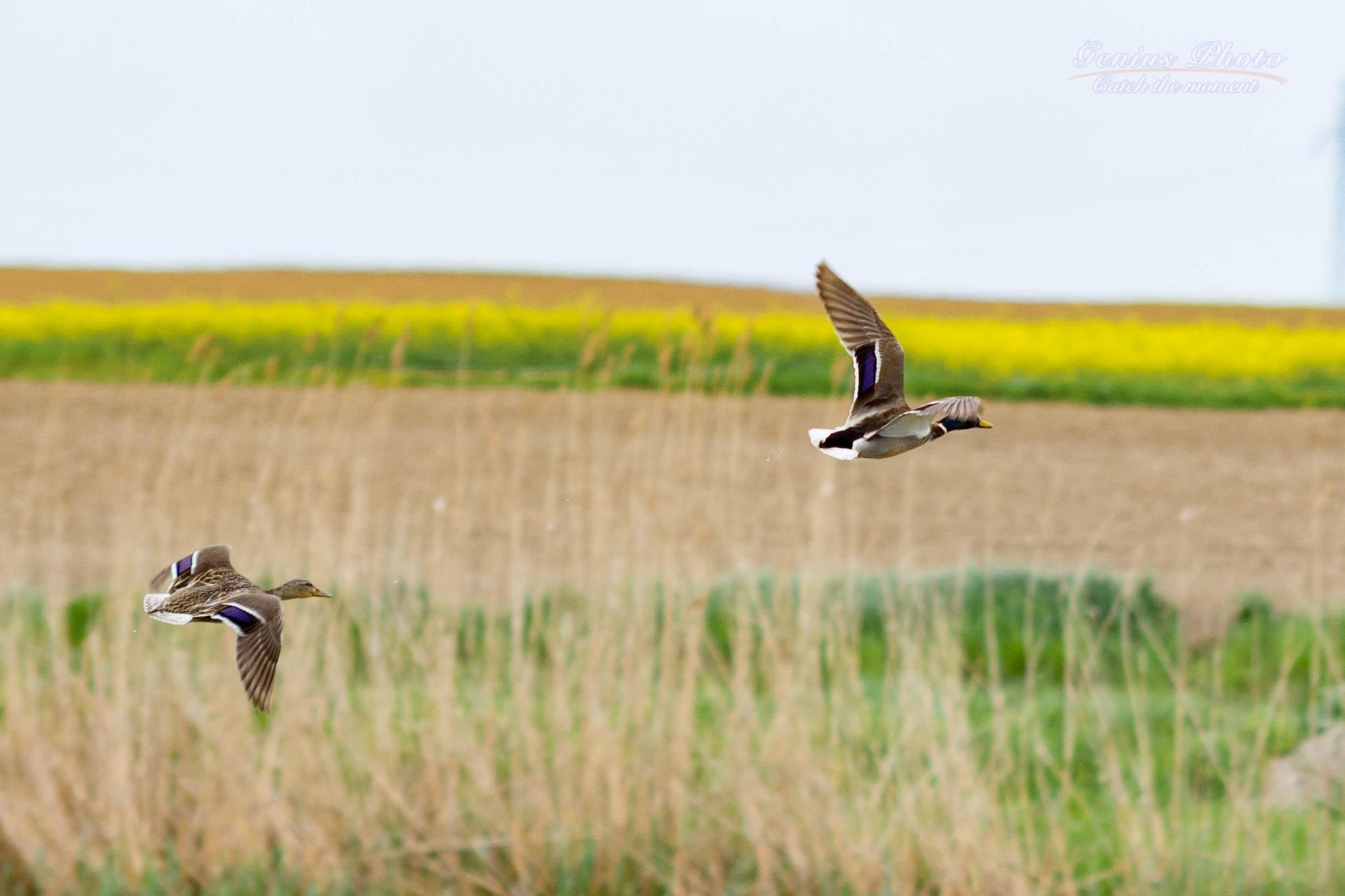 Photo in Animal #wildlife #flying #pair