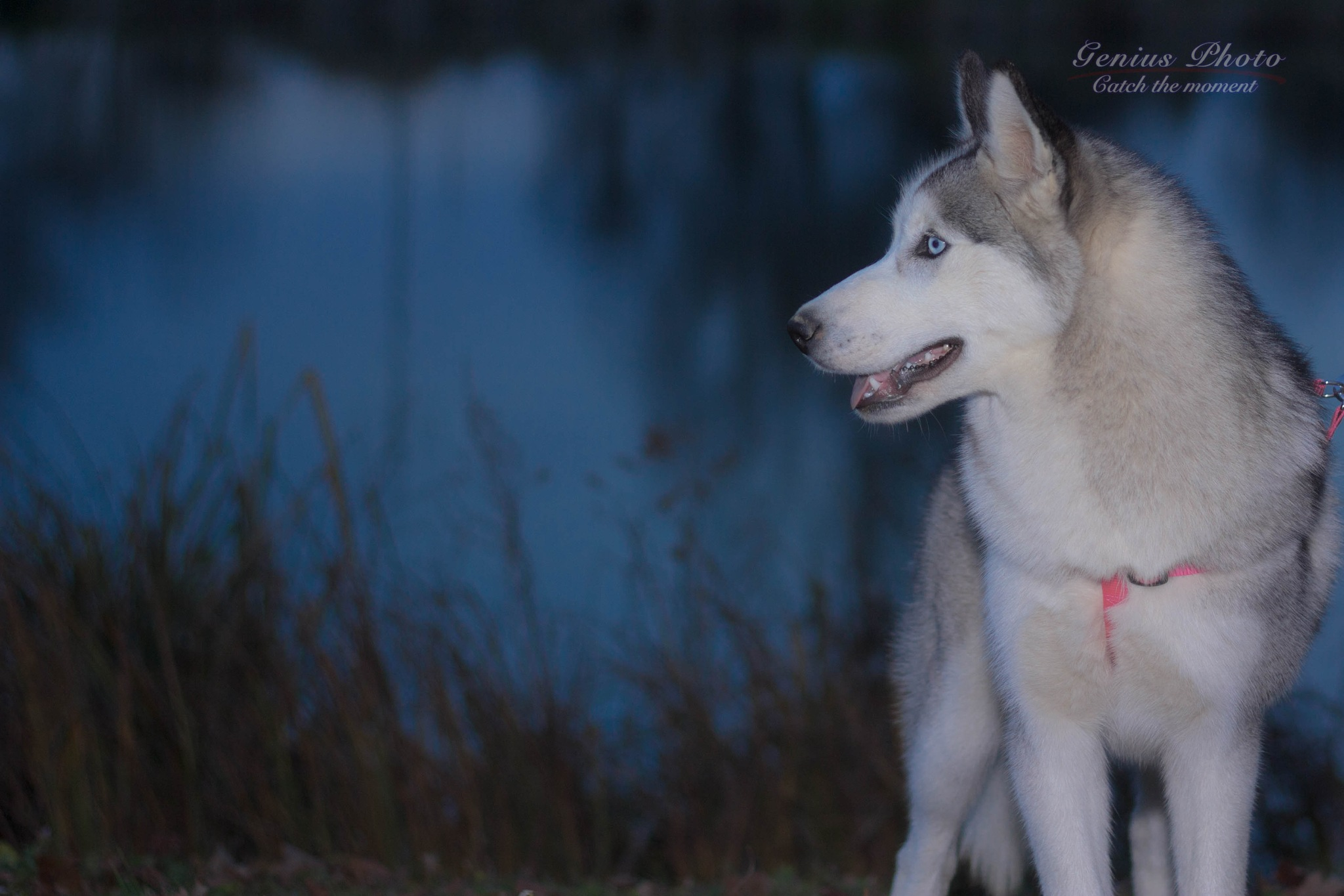 Photo in Animal #husky #dog #evening
