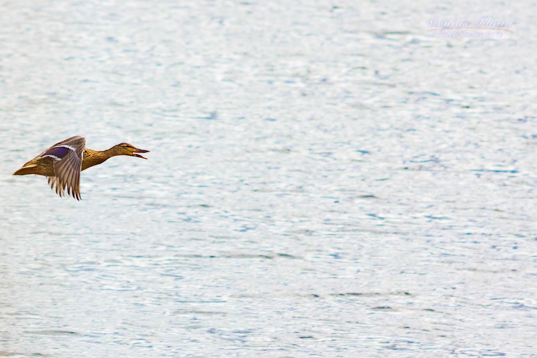 Photo in Animal #wild duck #wild animal #flying
