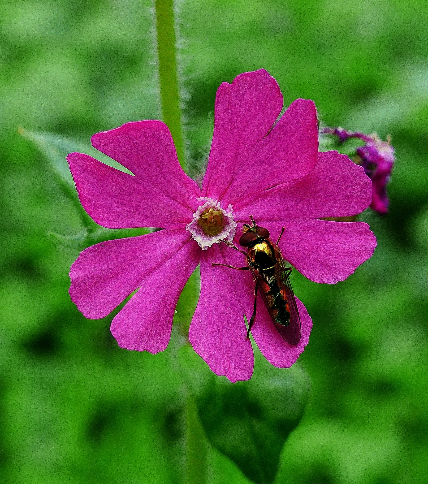 Red Campion by Costa Philippou