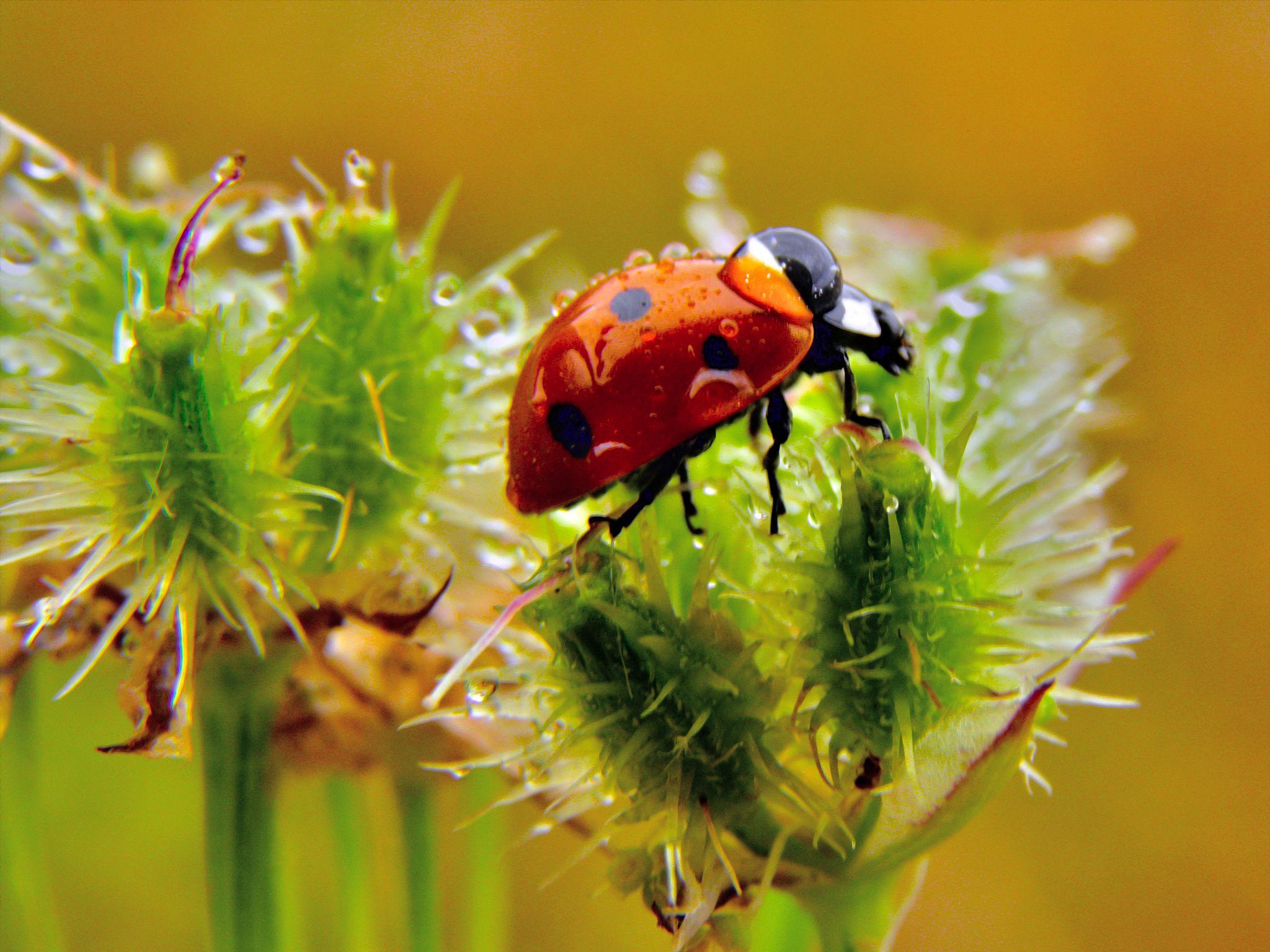 Ladybug by Slavko Marcac