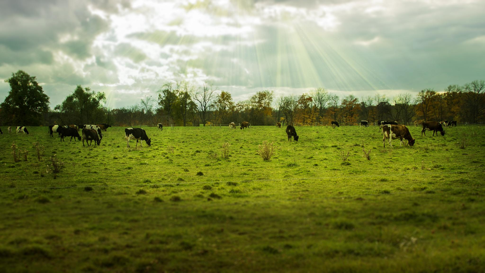 Photo in Rural #pastures #cows #grazing #clouds #farm