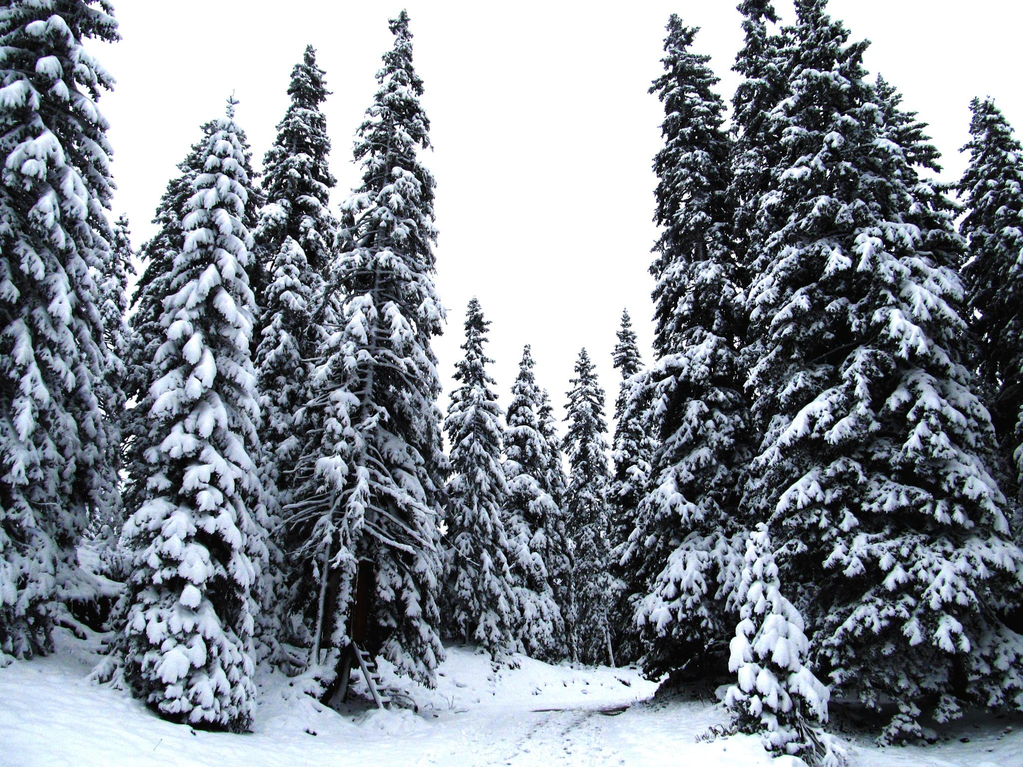snowy trees by Bence Nagy