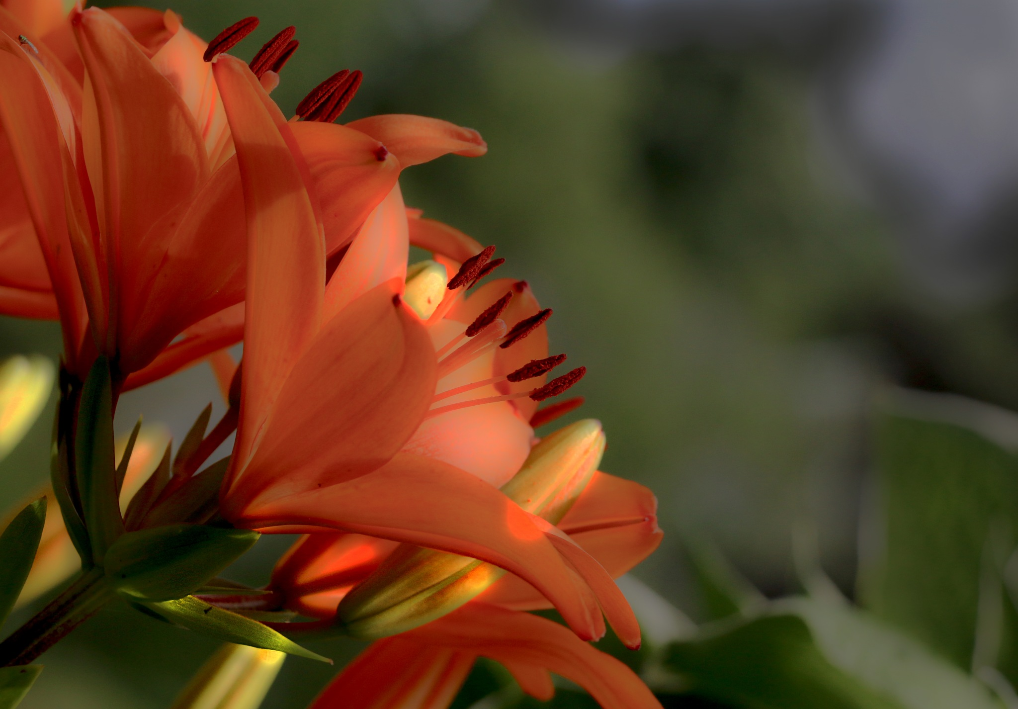 Photo in Nature #flowers #lillies #tiger lily
