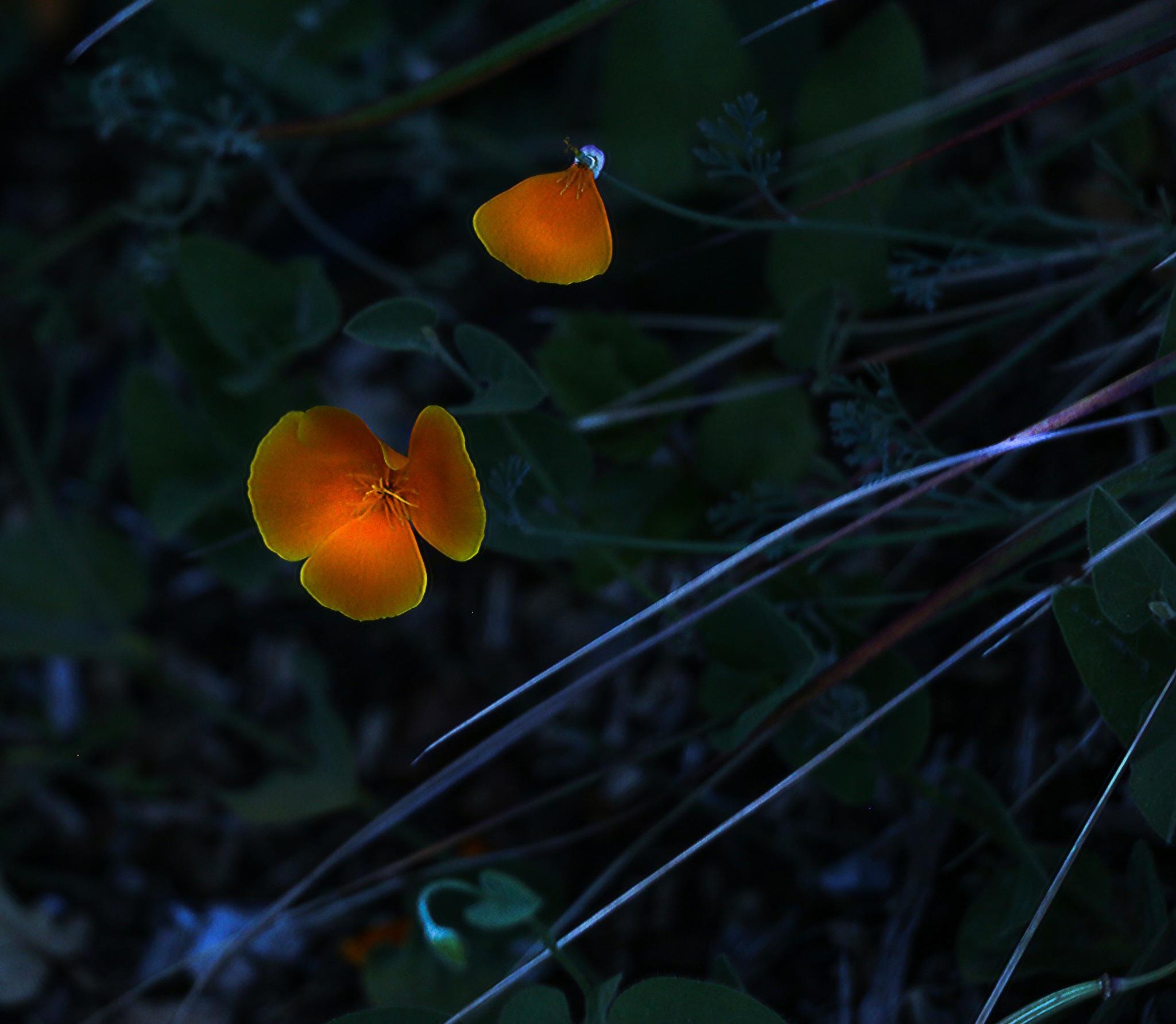 Night Poppies by Peter Cucchiara