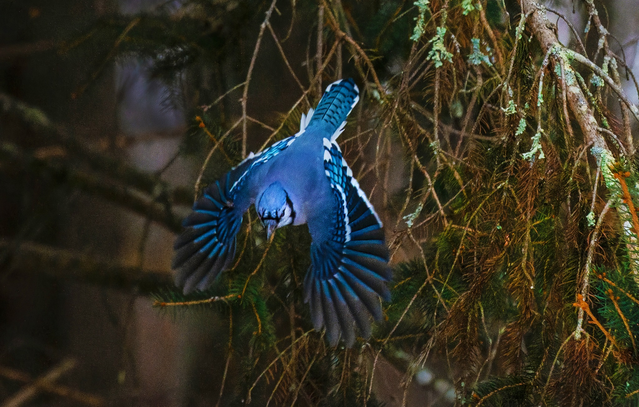 Blue Jay Takeoff by Peter Cucchiara