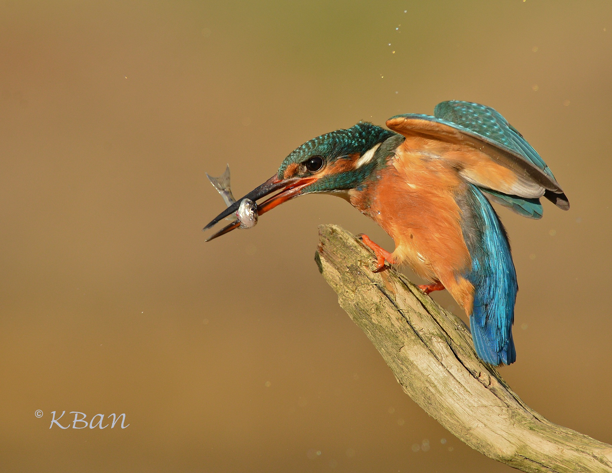 Kingfisher  by keithbannister2