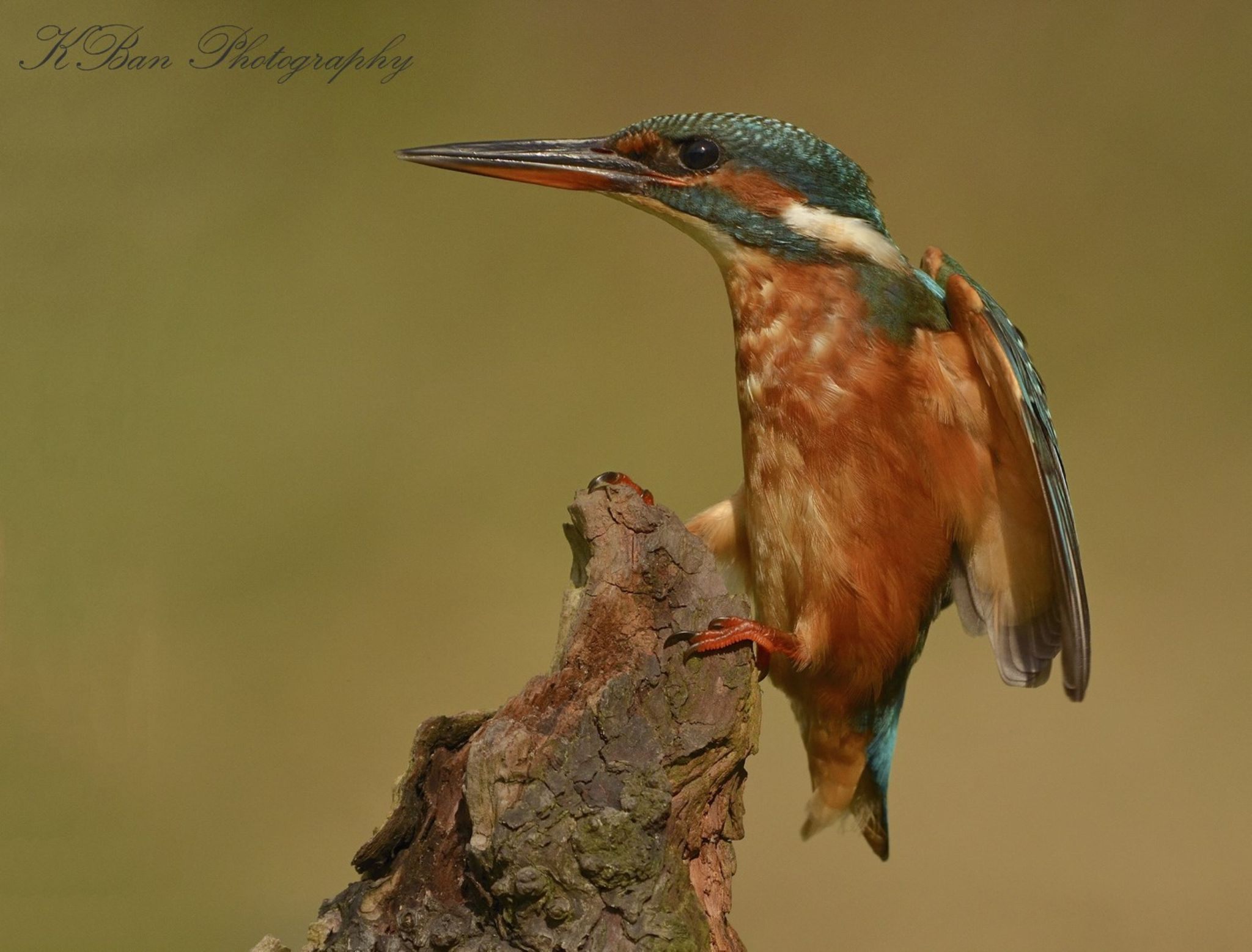 Landing Kingfisher  by keithbannister2