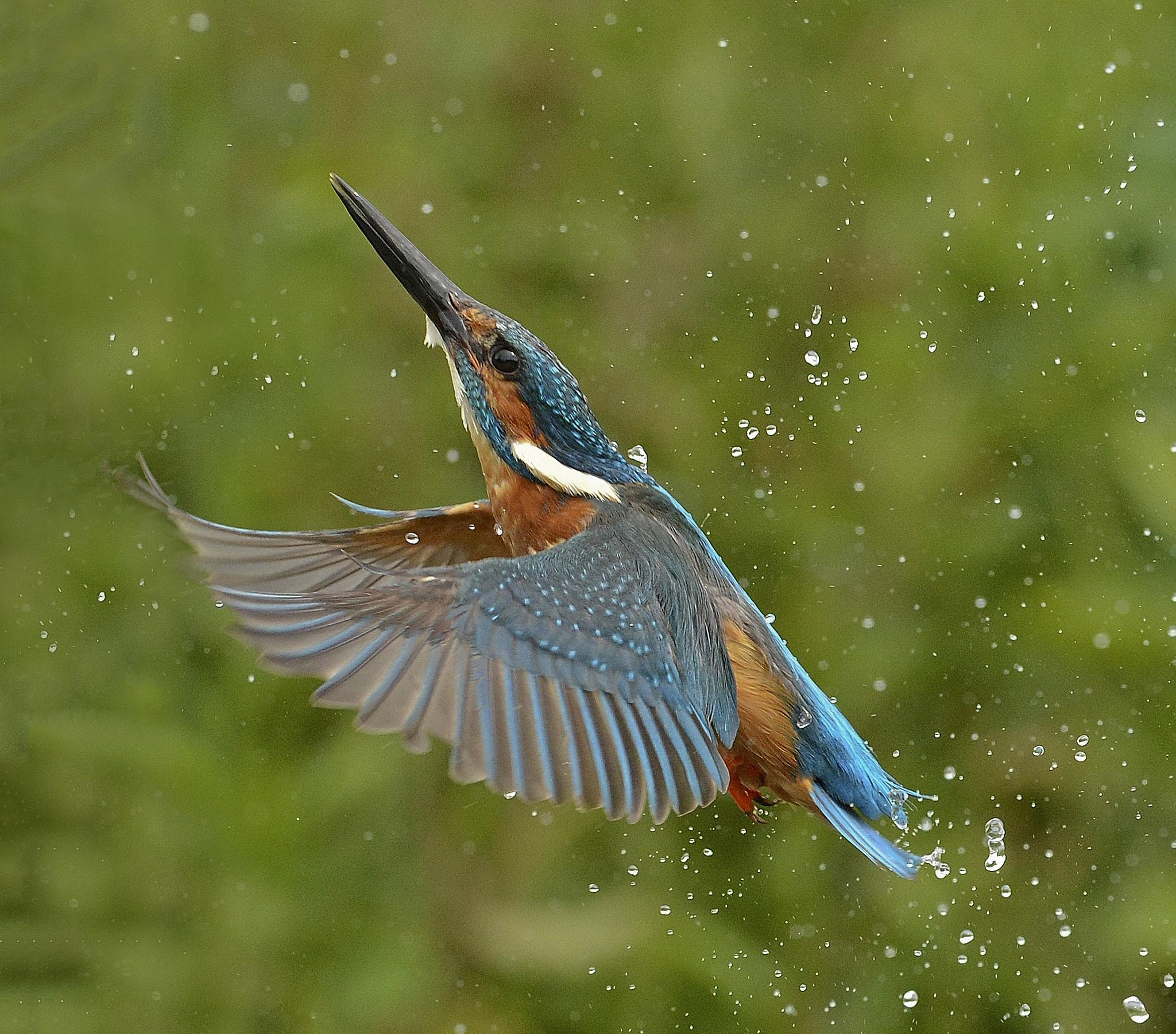 Kingfisher Rising  by keithbannister2