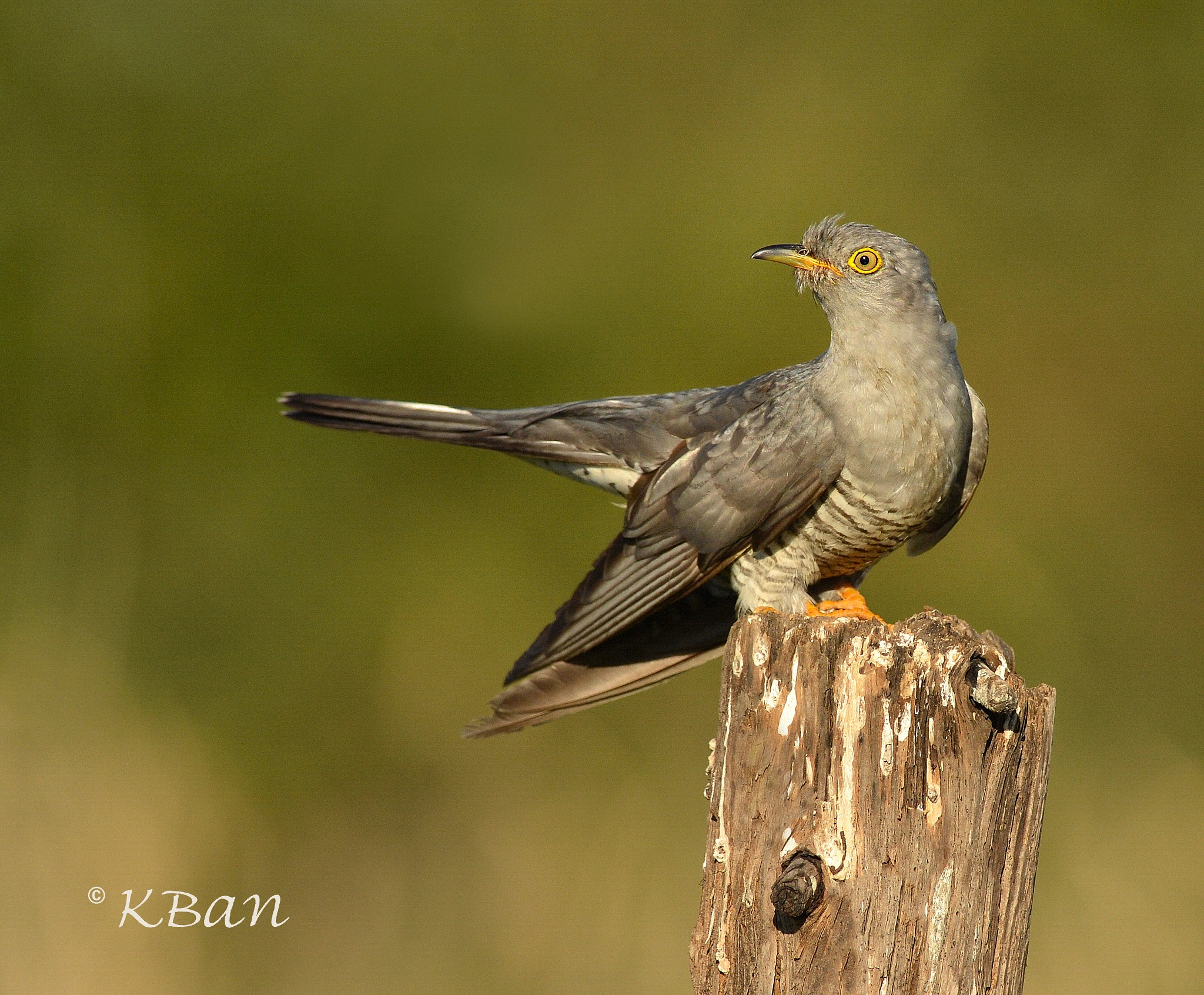 Male Cuckoo  by keithbannister2