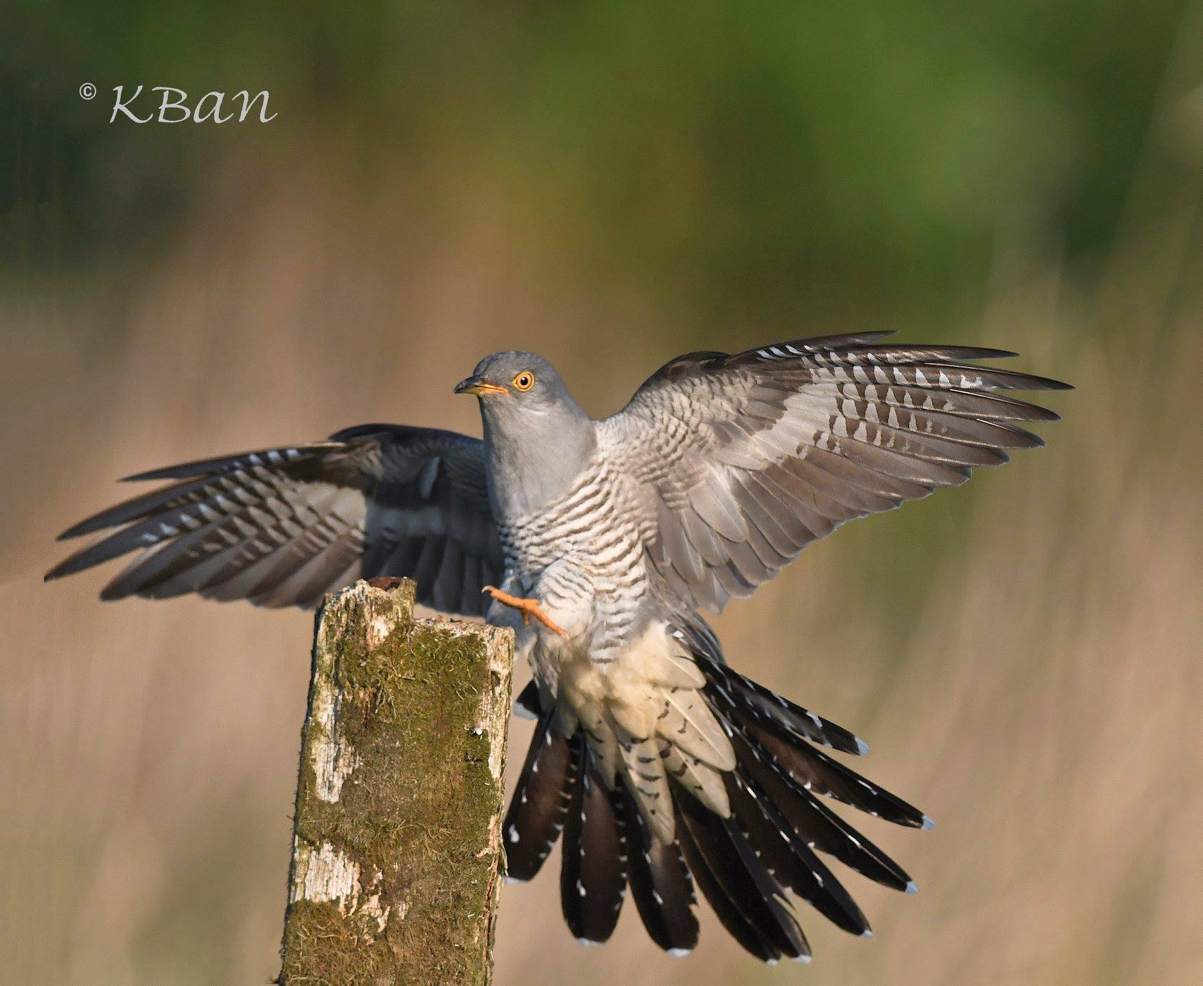 Cuckoo landing by keithbannister2