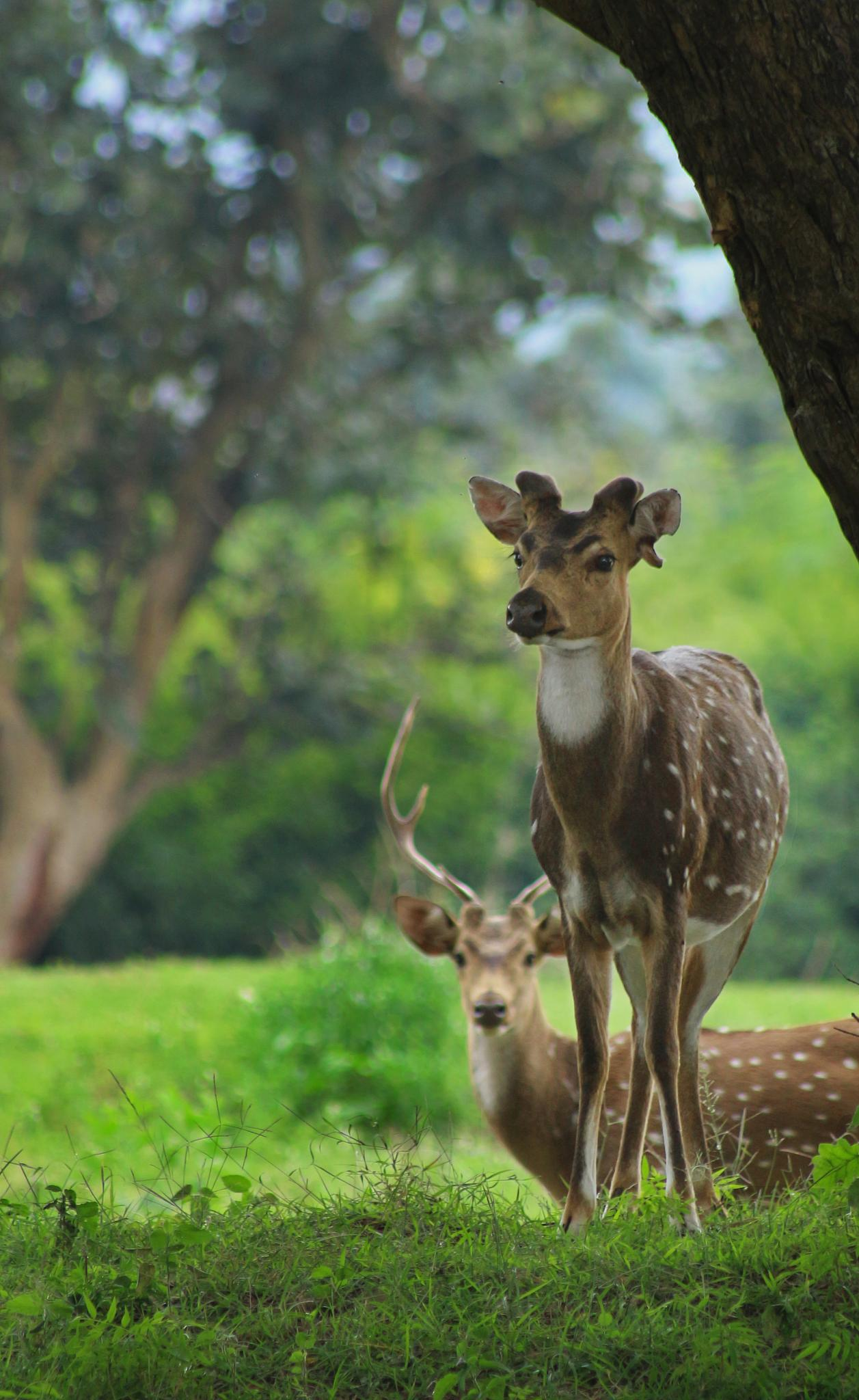 deers pair  under tree by Ramesha.Samarpana