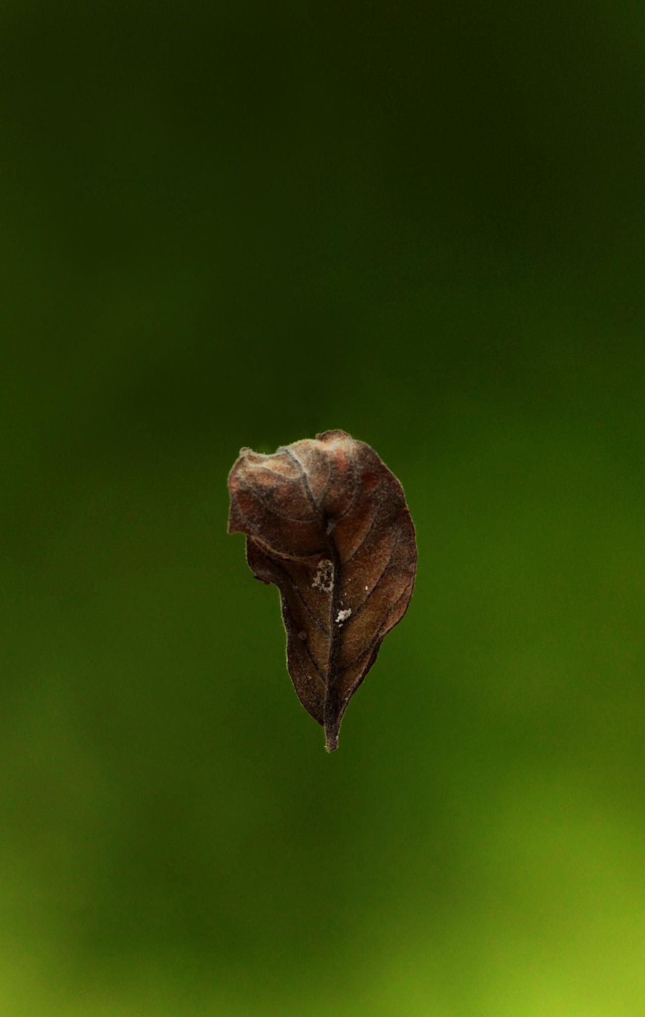 drop of a dry leaf by Ramesha.Samarpana