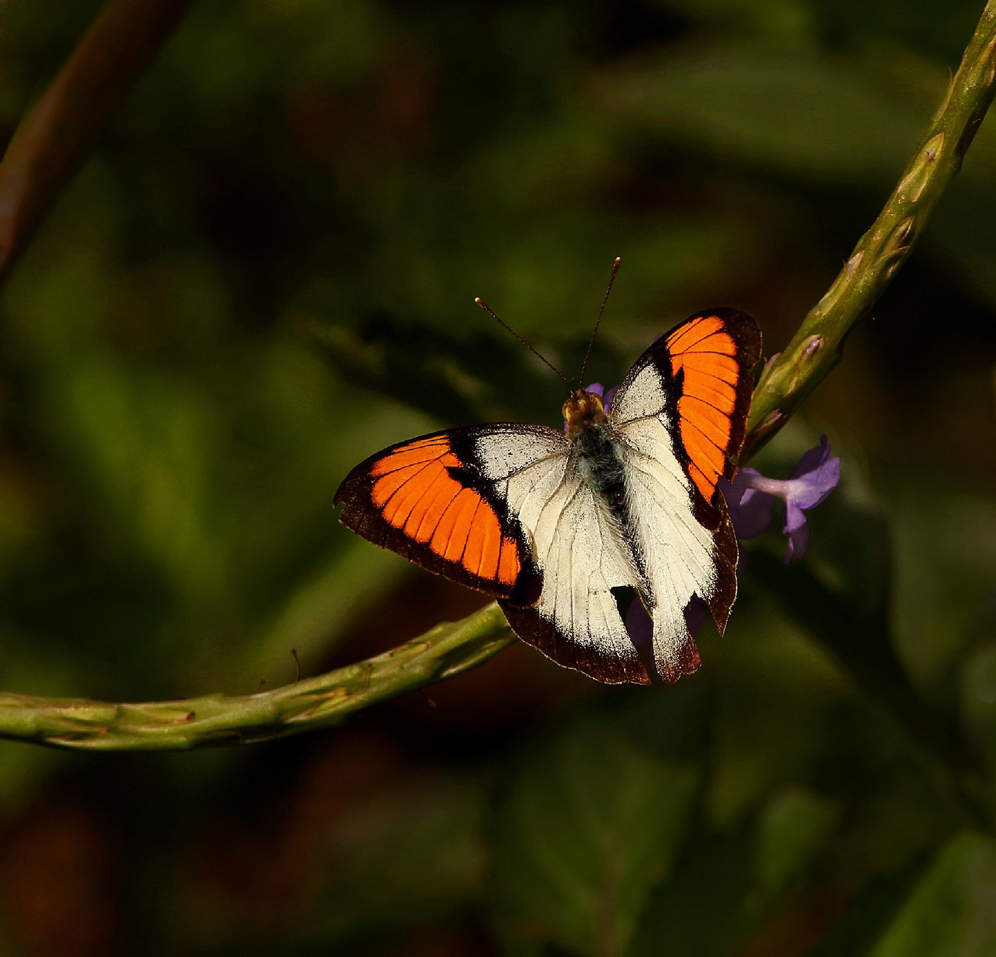 orrange tip butterfly by Ramesha.Samarpana