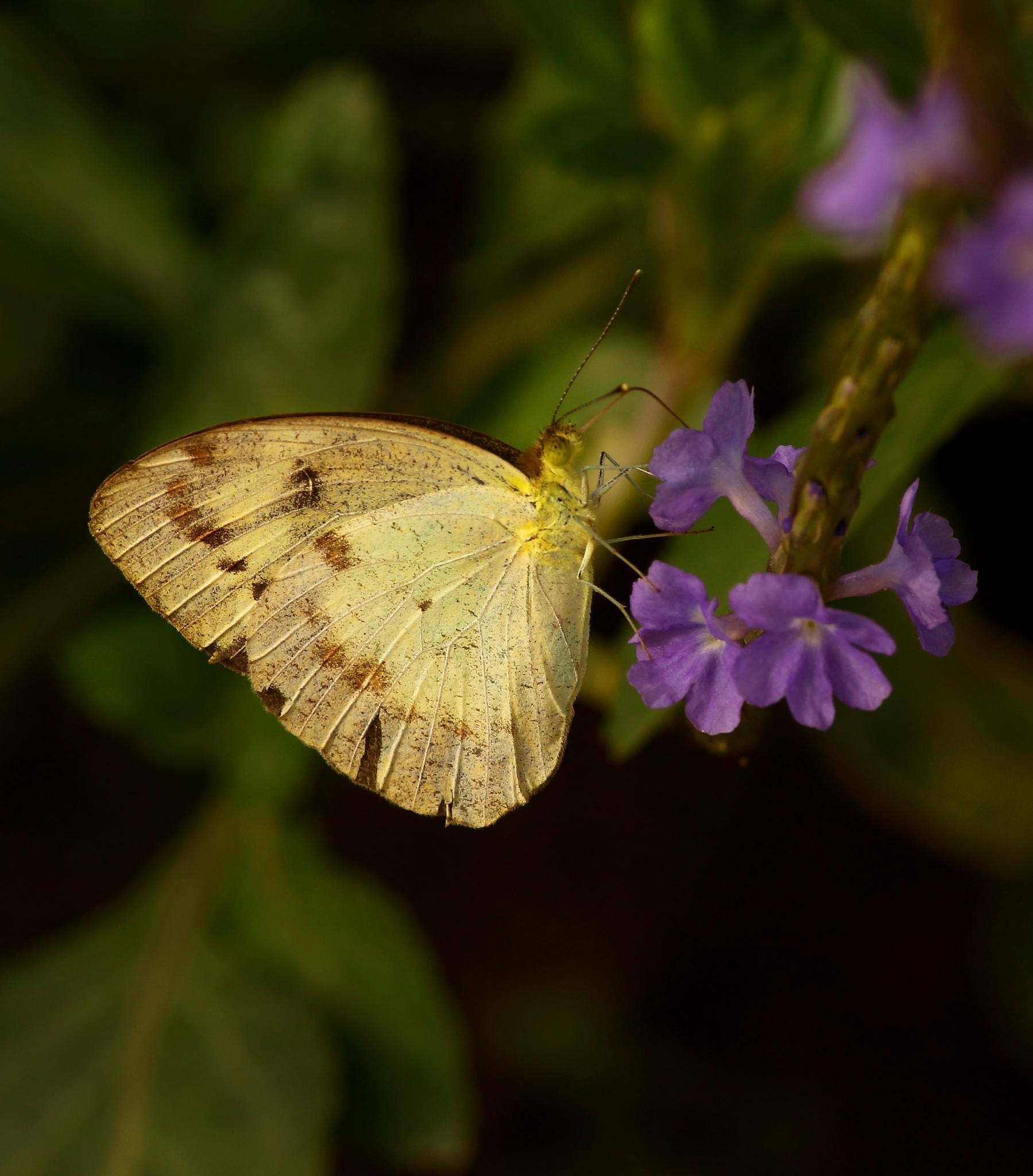 butterfly drinking honey from flower by Ramesha.Samarpana