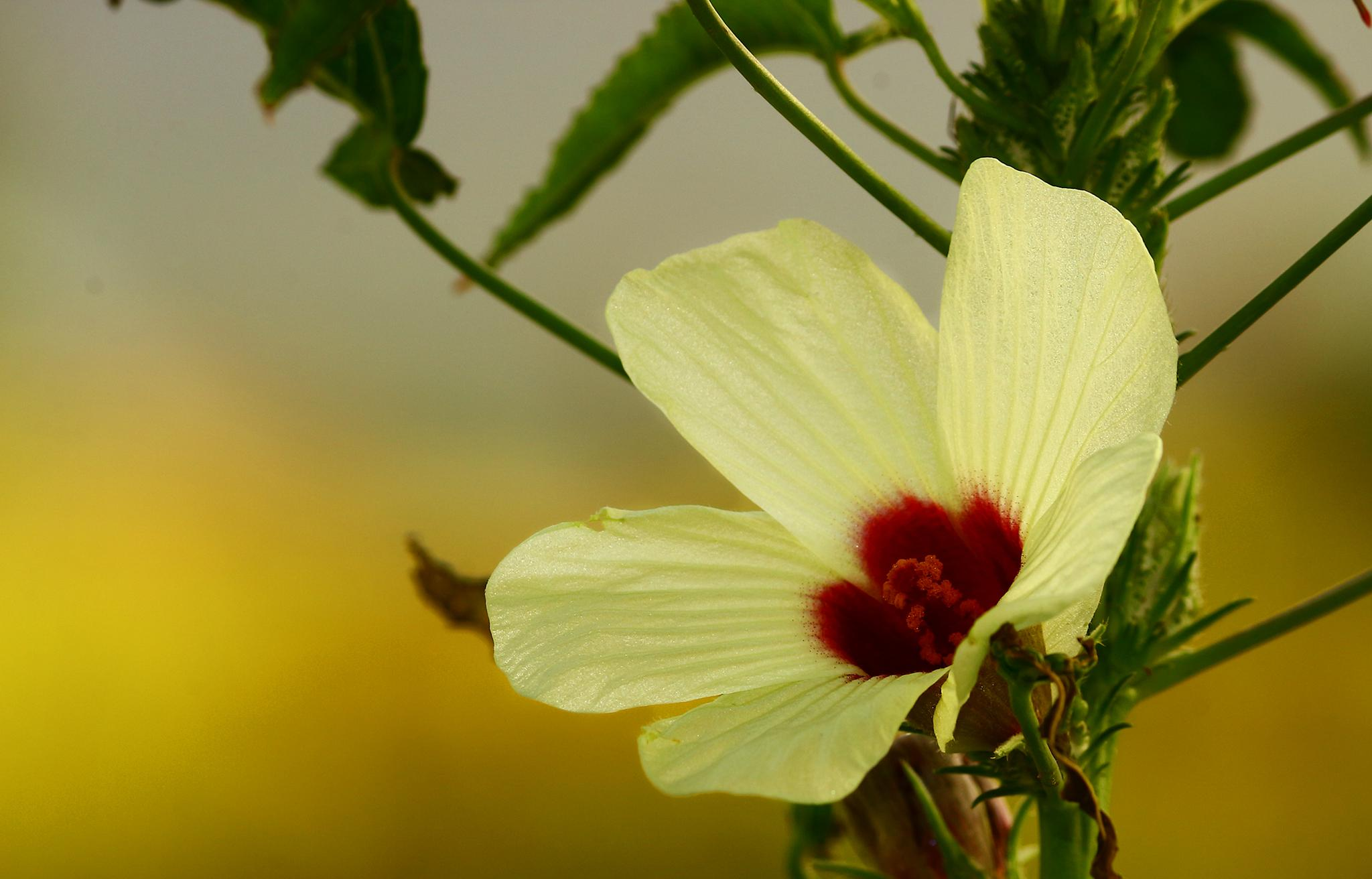 A fresh bloom in the morning.... by Ramesha.Samarpana