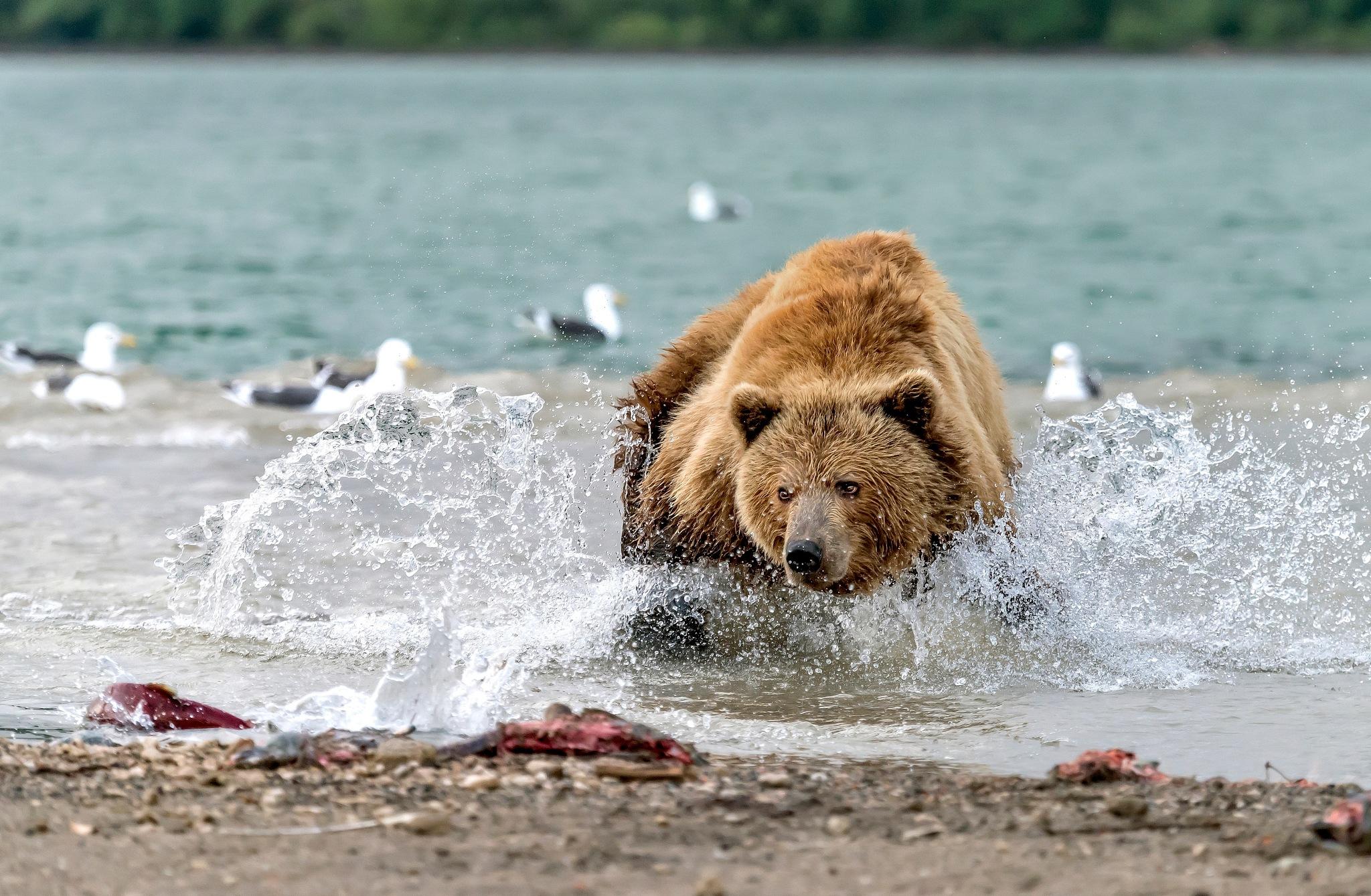 Careful on salmon by Giuseppe D'amico
