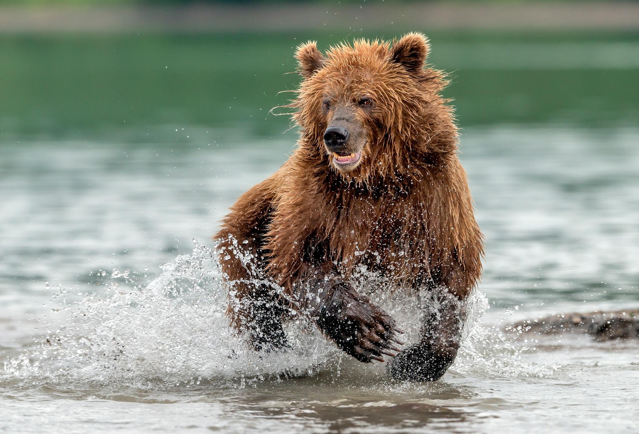 Bear by Giuseppe D'amico