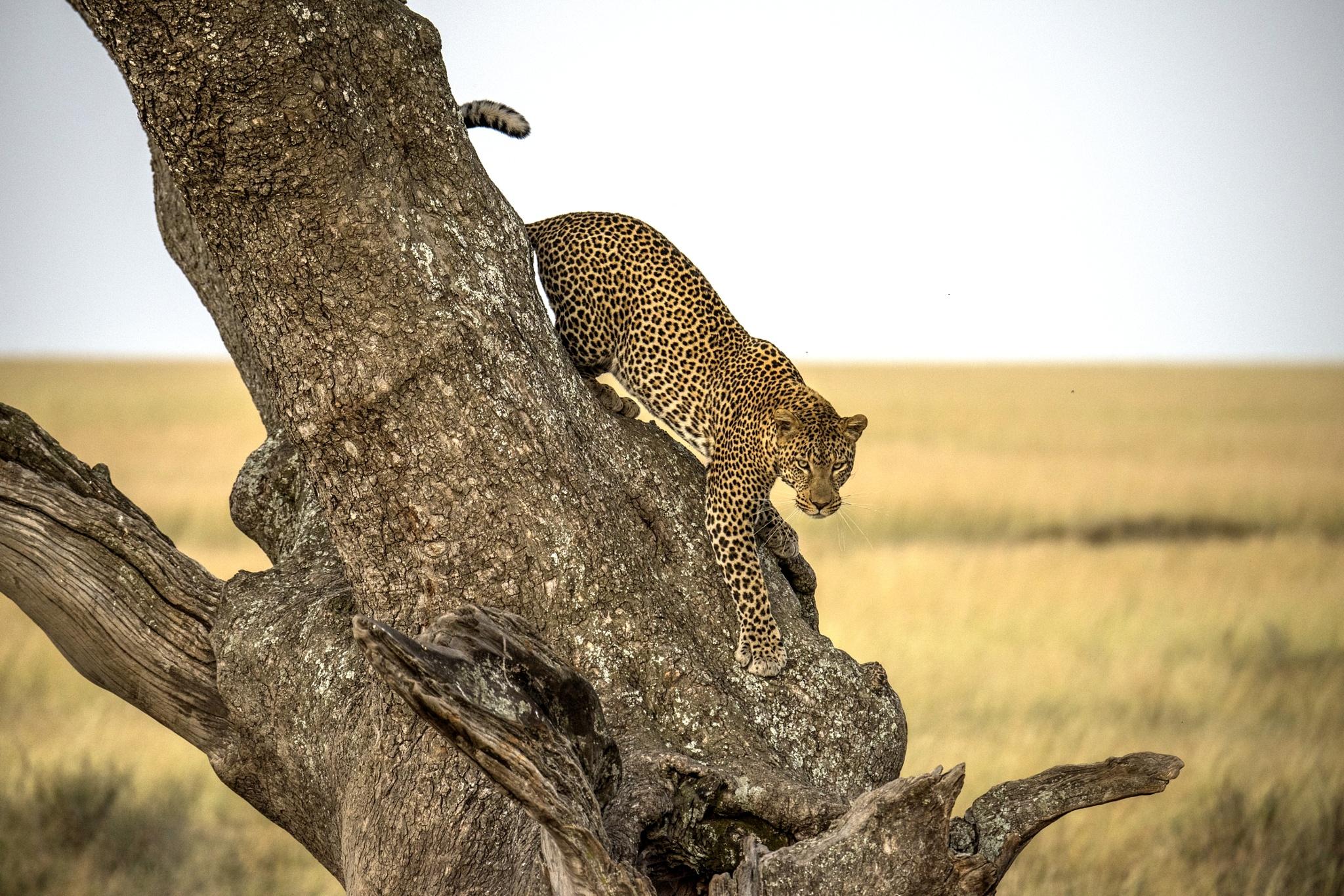Leopard by Giuseppe D'Amico