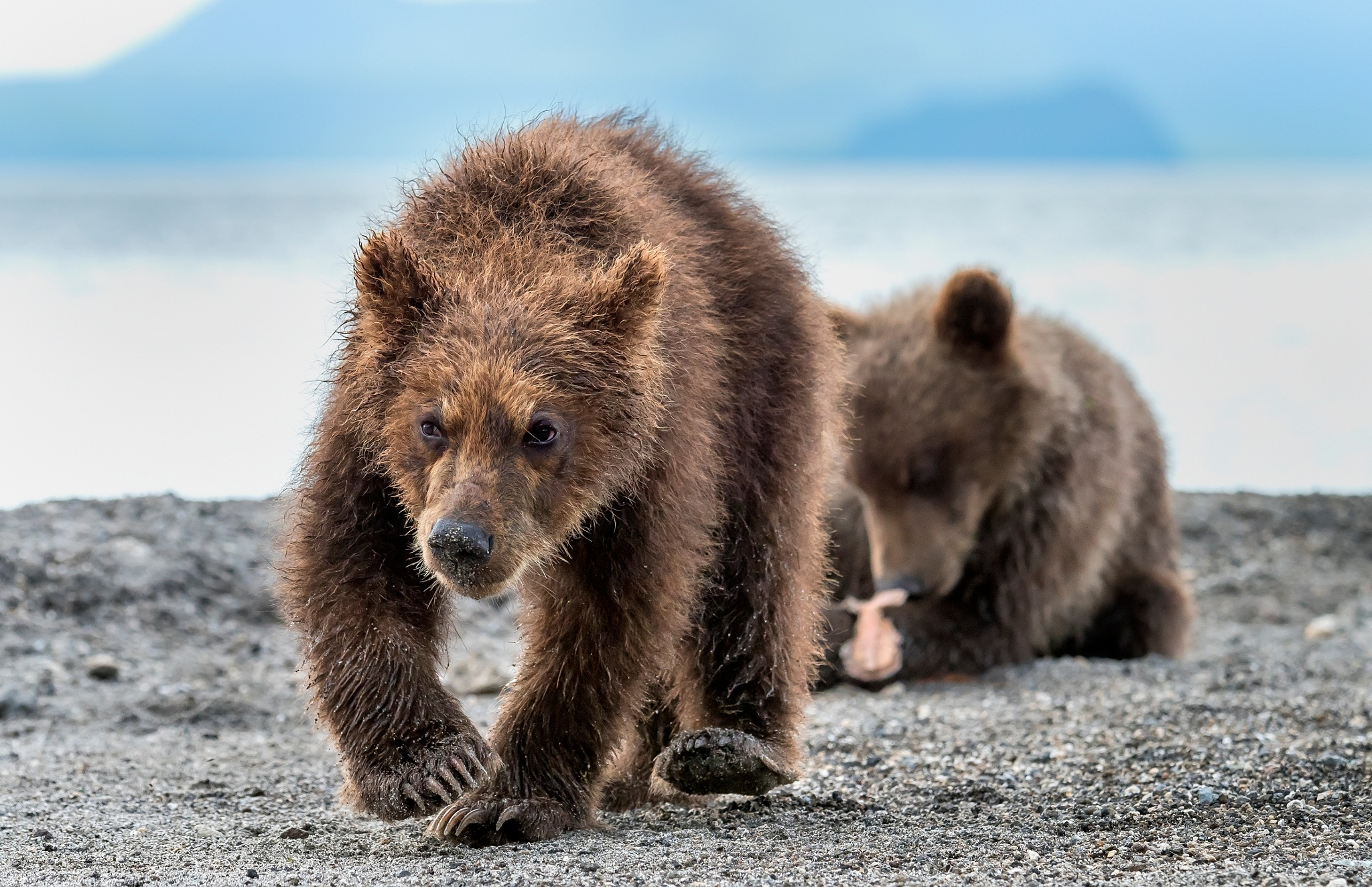 Cubs - Kamchatka, Russia by Giuseppe D'amico