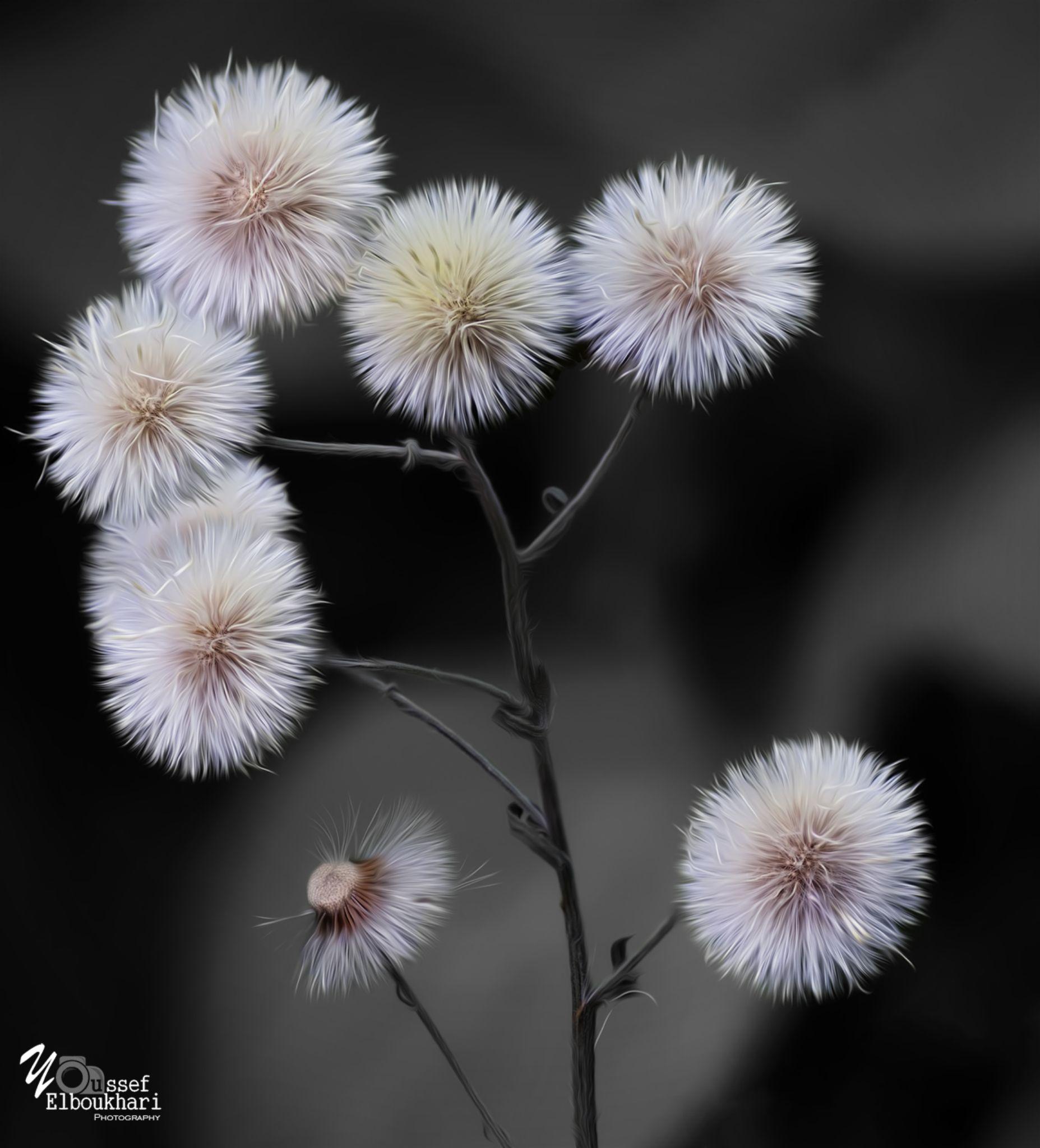dandelion BW by youssef elboukhari