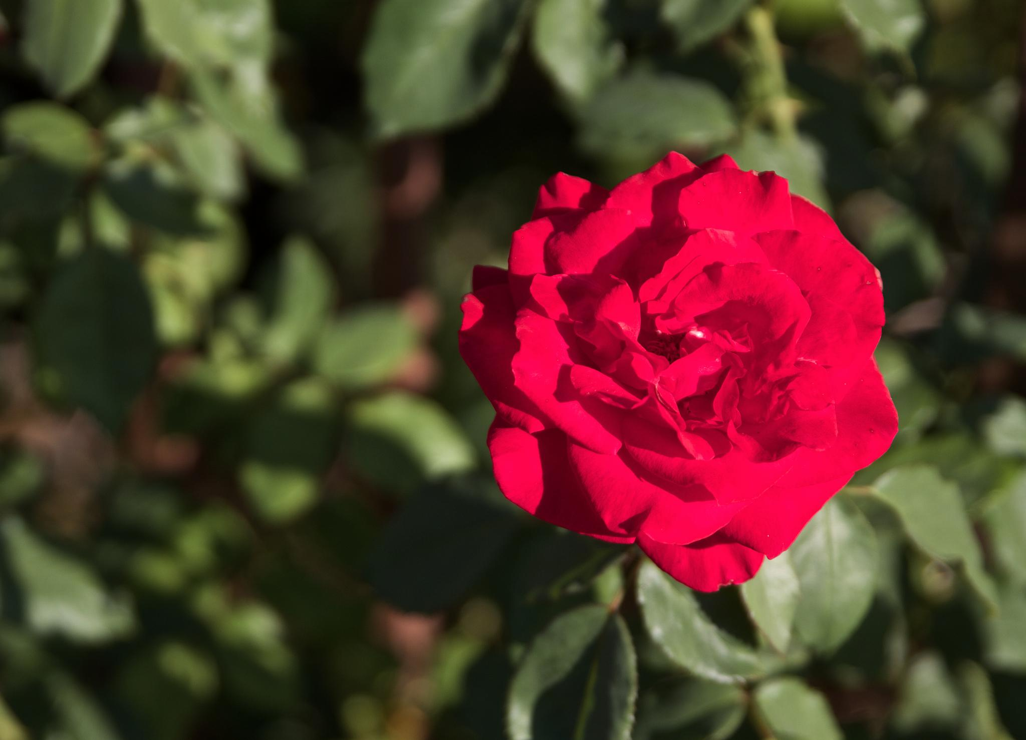 A Single Red Rose by emet441