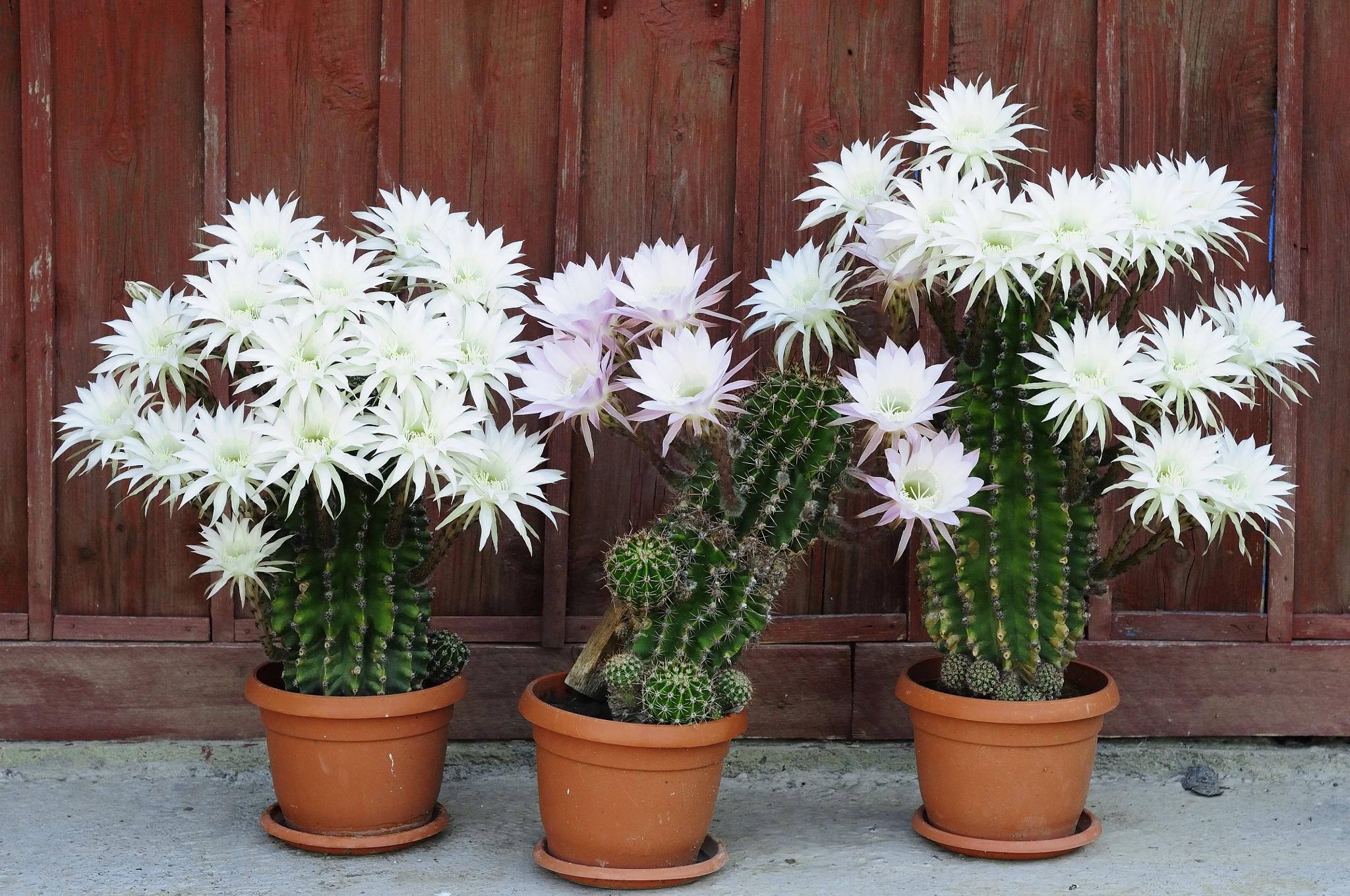 Photo in Nature #flowers #cactuses #garden #nature