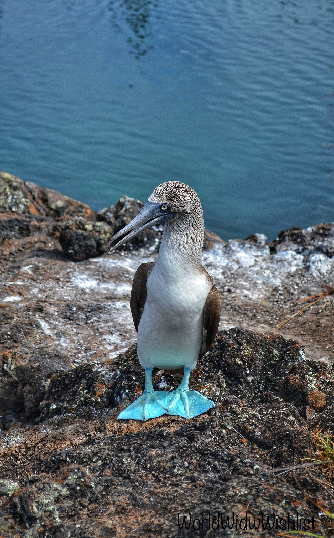 Blue-footed Booby by David M
