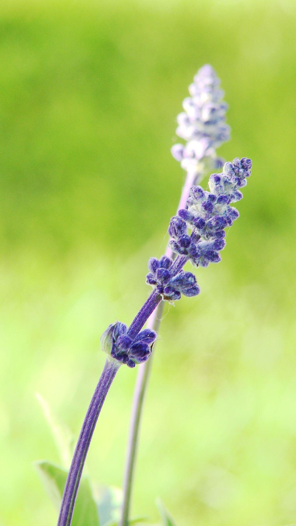 Lavender....... by Silvia Sandrock