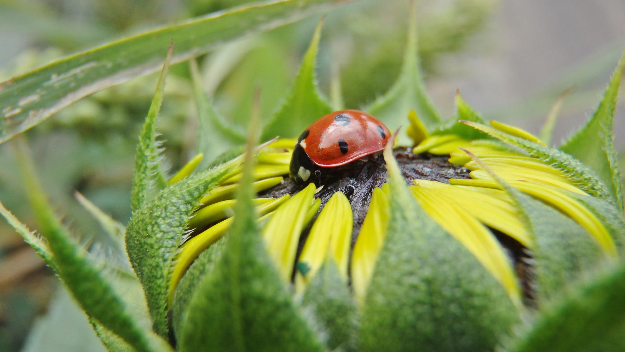Sunflower and the Ladybug........ by Silvia Sandrock