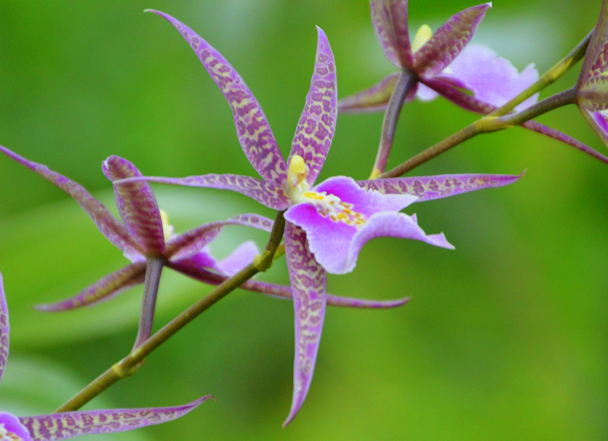 Pale Orchid by Lew