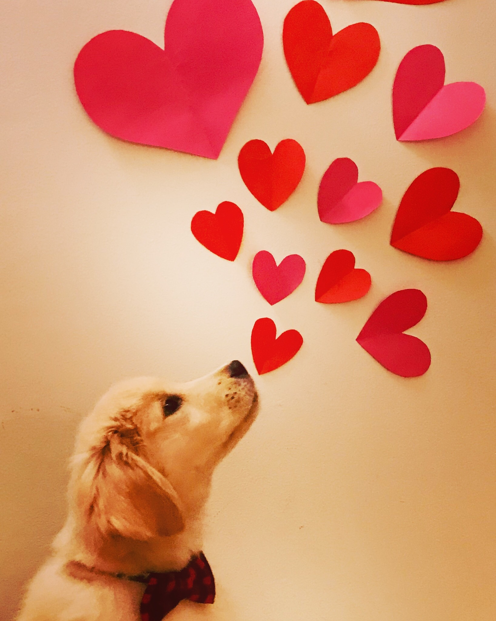 Photo in Random #valentines #love #goldenretriever #retrieverlove #goldenretrieverlover