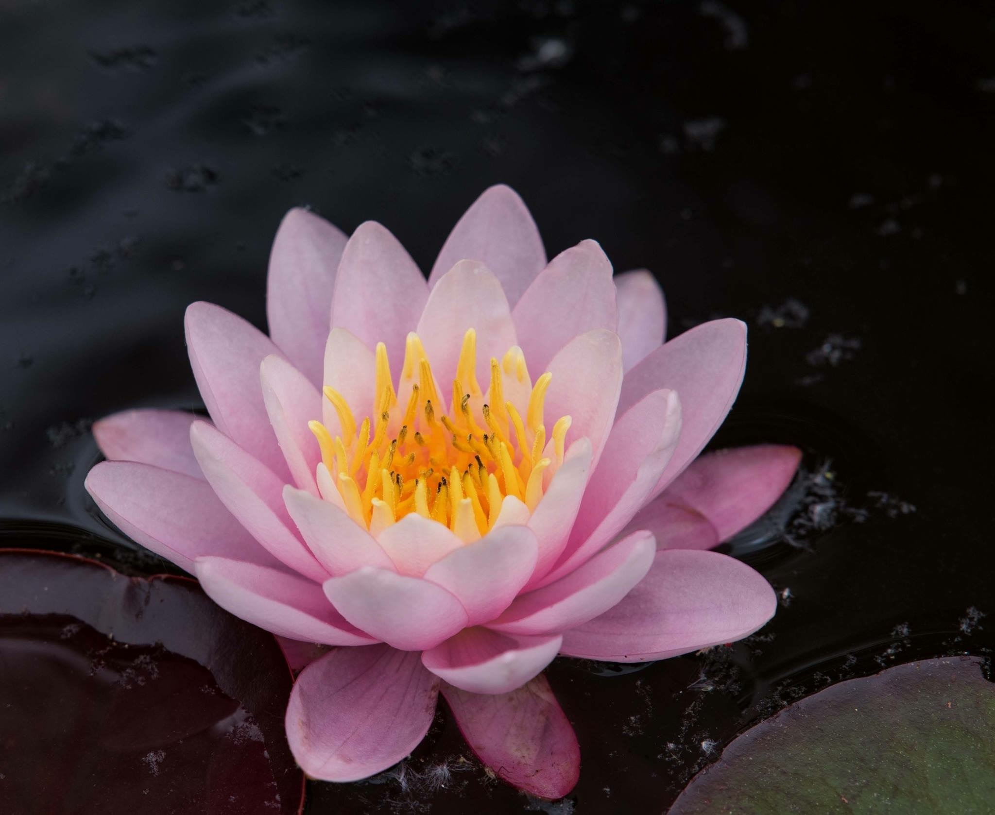 Water lily by Valerie Dyer