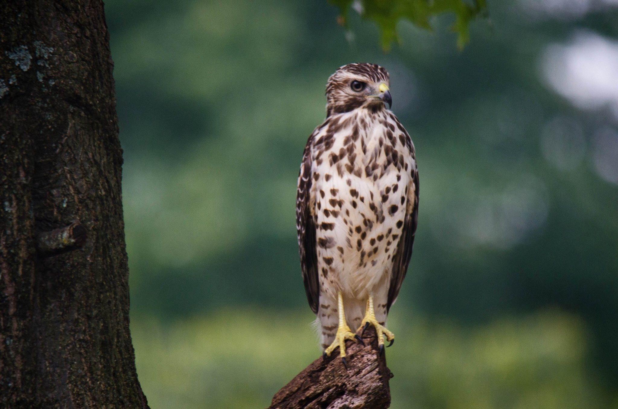 Hawk by Valerie Dyer