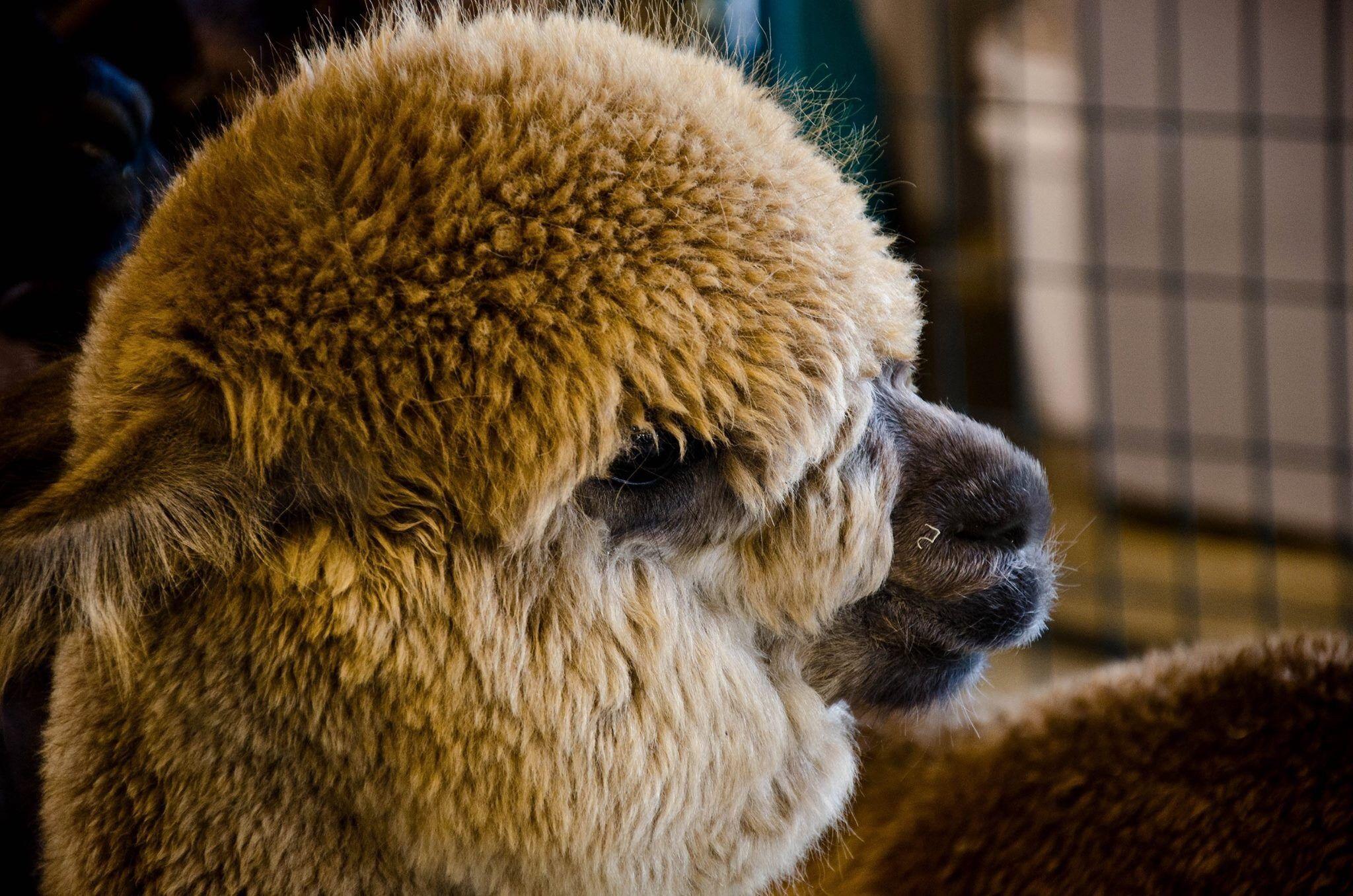Alpaca by Valerie Dyer