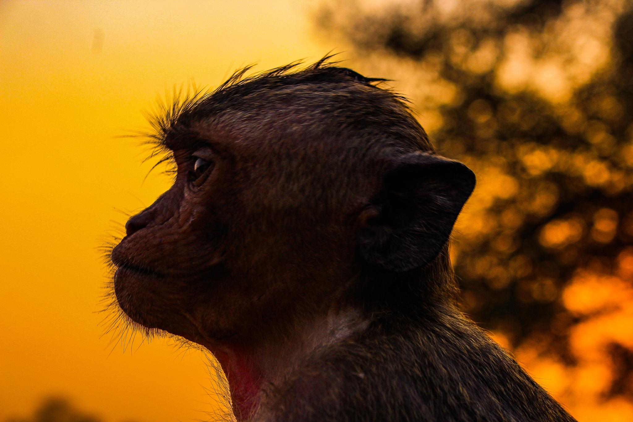 Photo in Nature #monkey #sunset #temple #ankor #travel #sideprofile #headshot