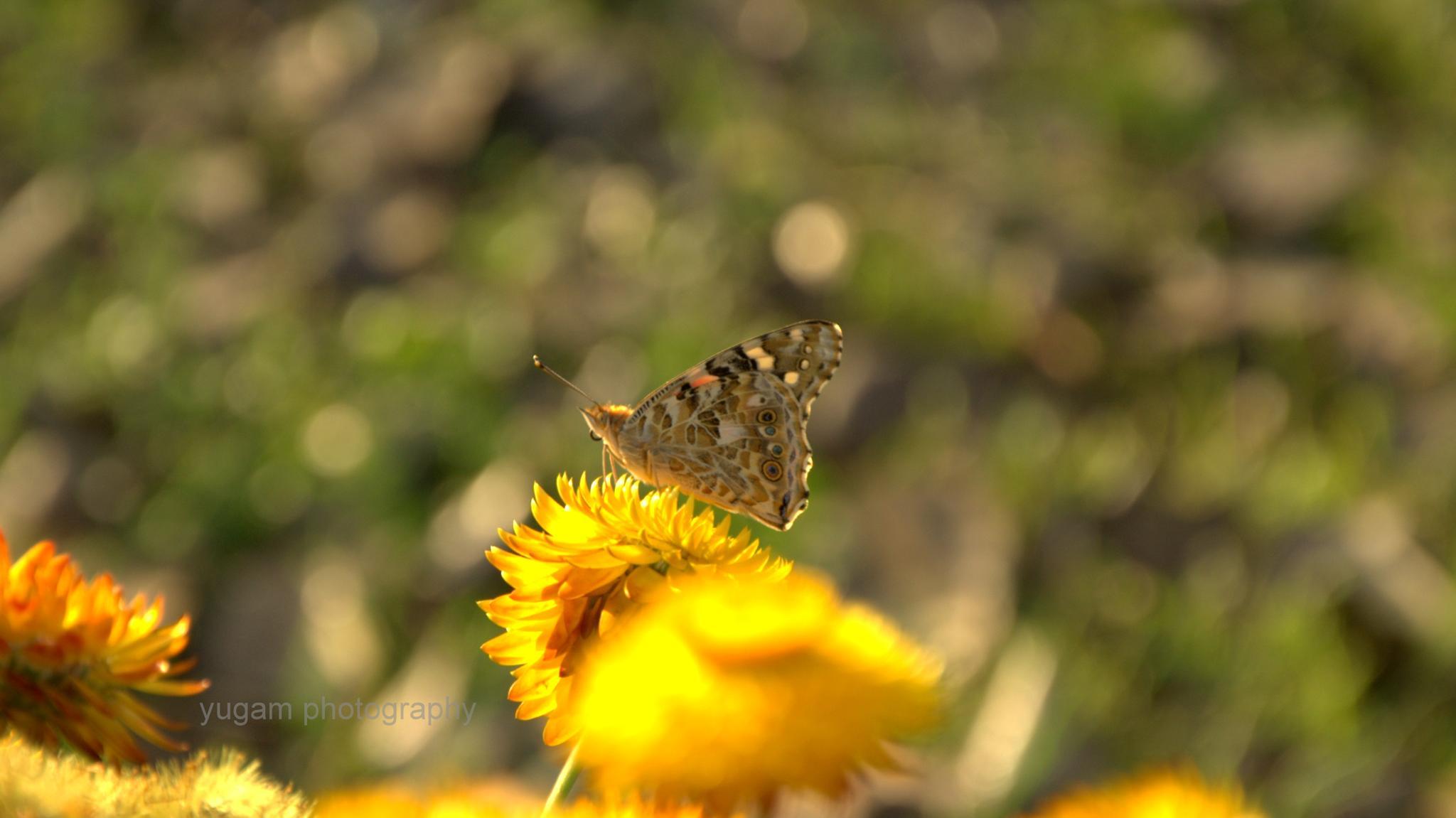 butterfly in macro by Yugam Kaka