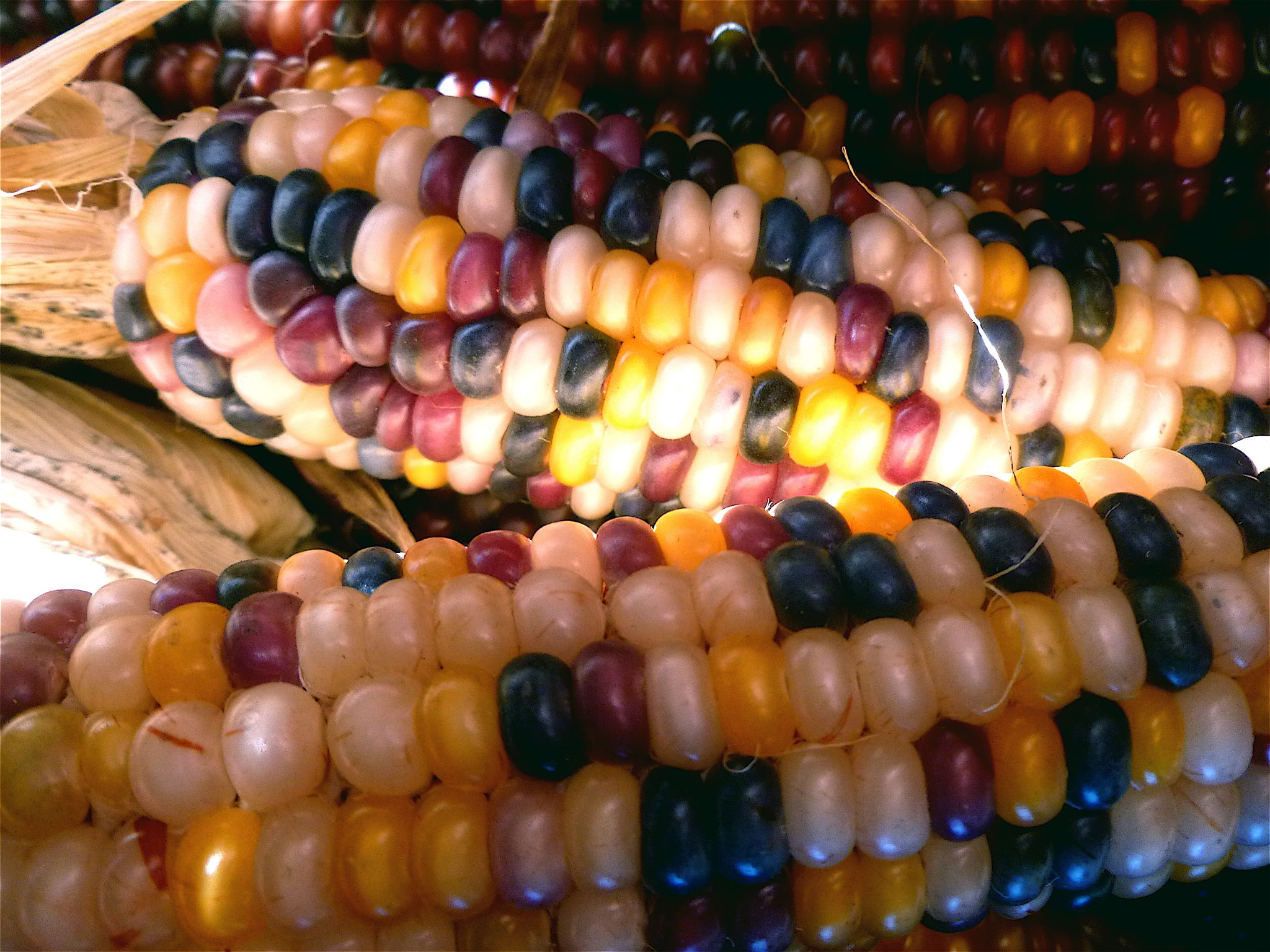 Indian corn by Jan Muzzi