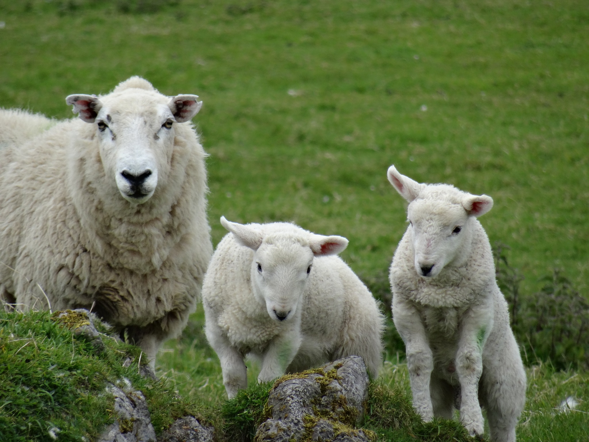 Photo in Animal #sheep animal nature family