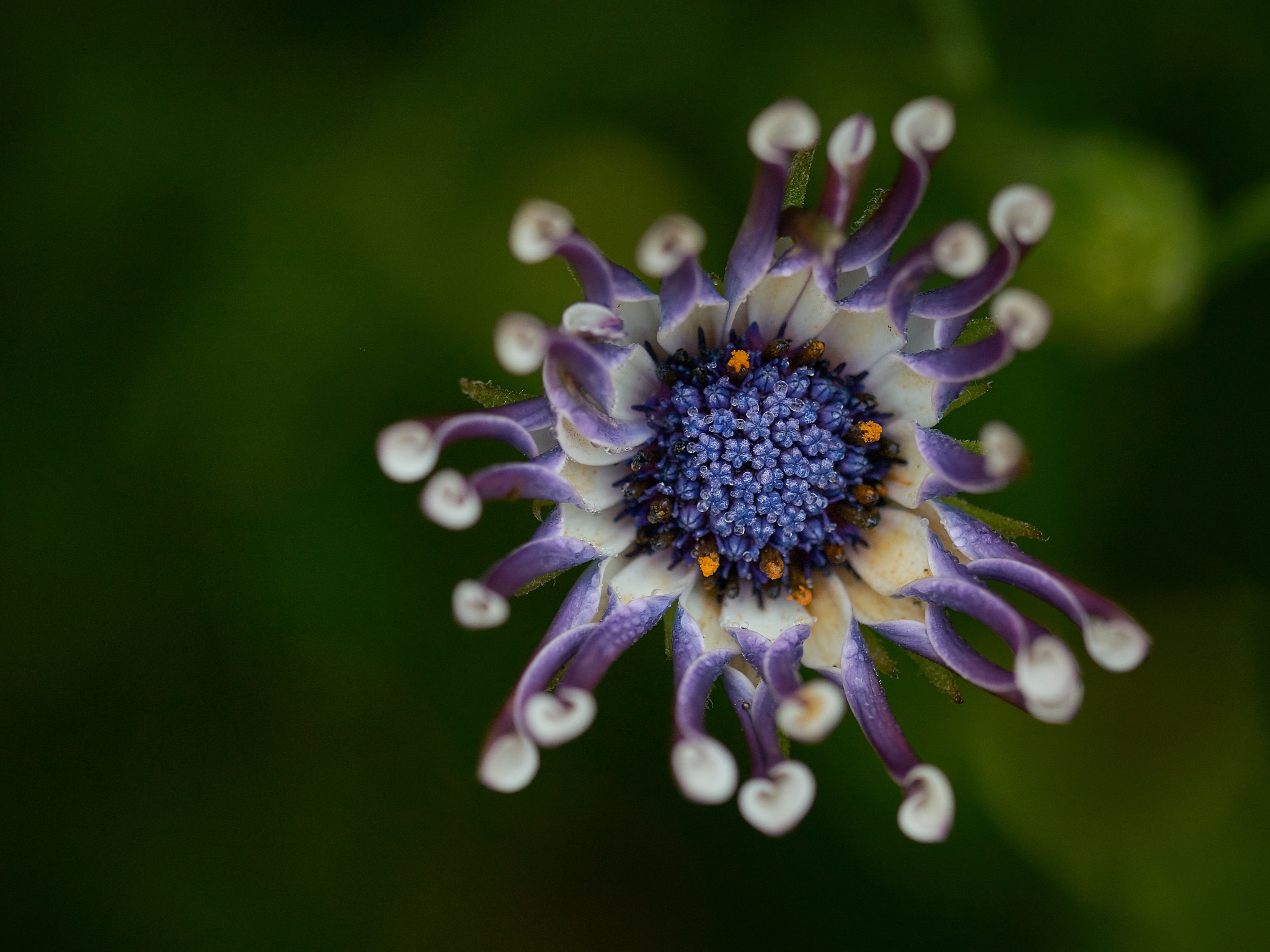 Photo in Random #flower #flower head #close up #colors #no people #sony a7ii #sigma 105mm macro #gedaesal@gmail.com