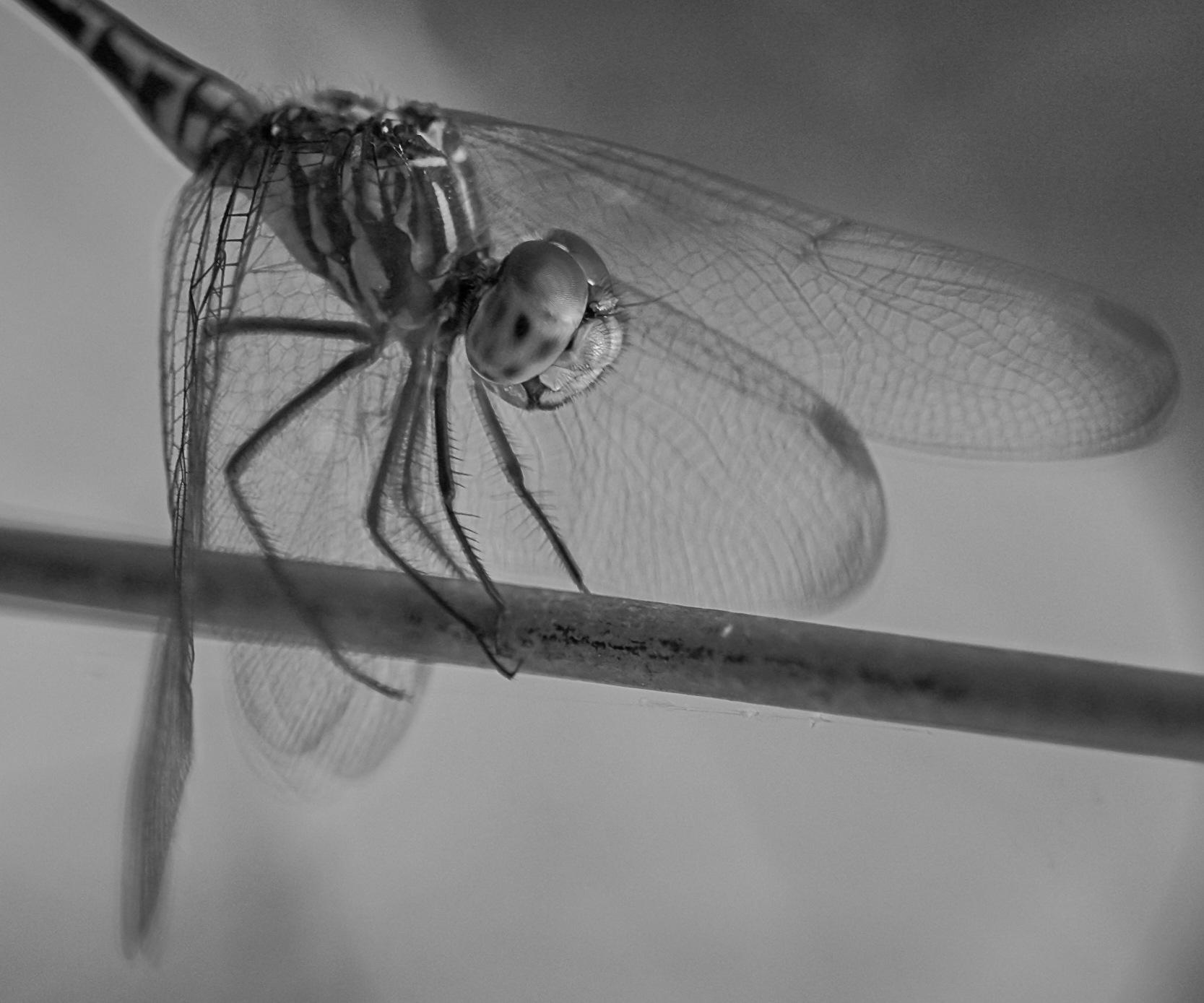 Dragonfly by German Dario Escobar Alvarez
