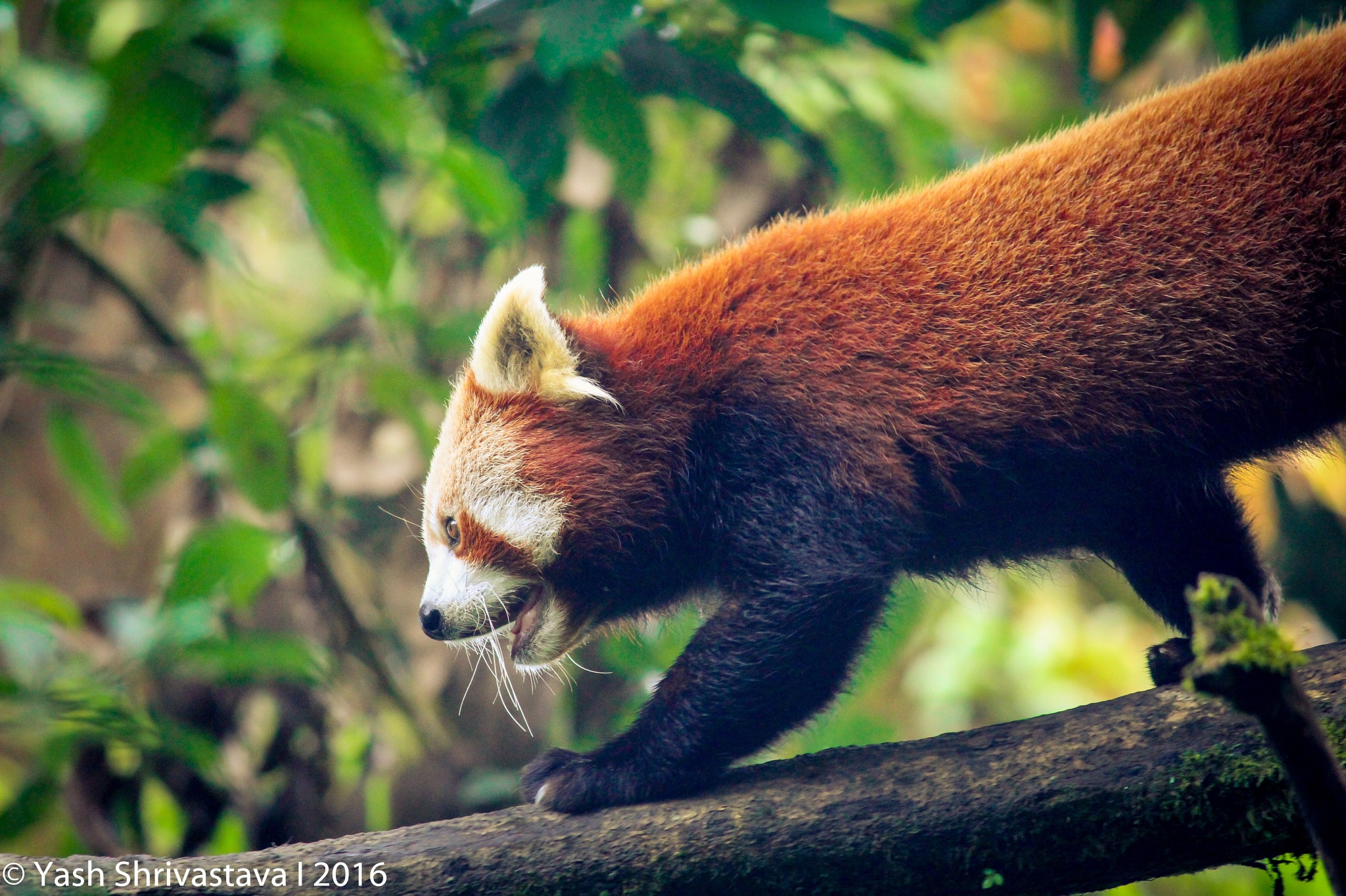 Photo in Animal #animal #wildlife #photography #canon #red #panda #green