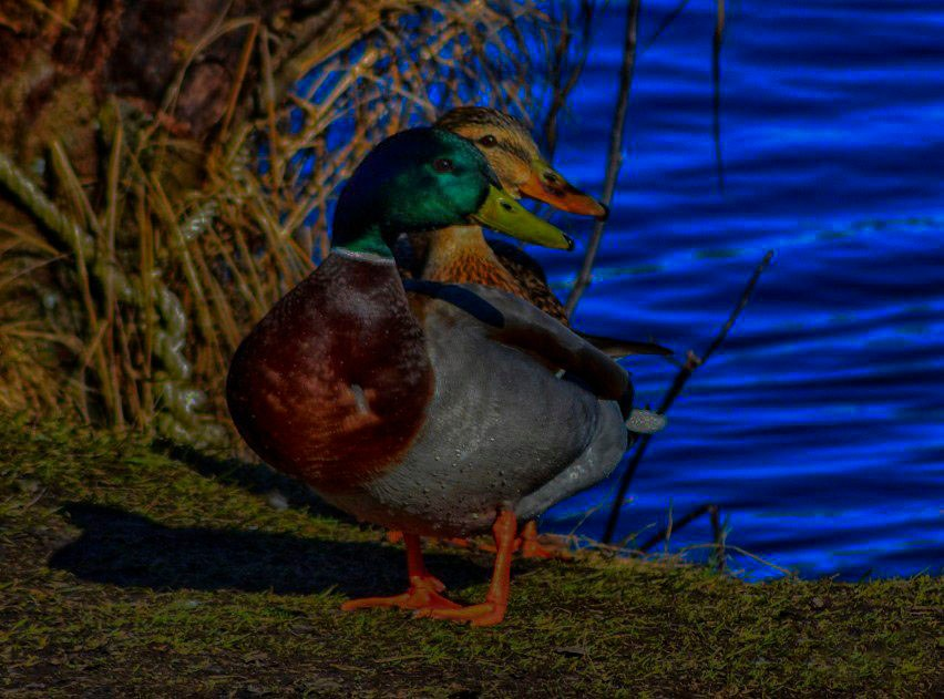 Mr And Mrs Duck by Bergh