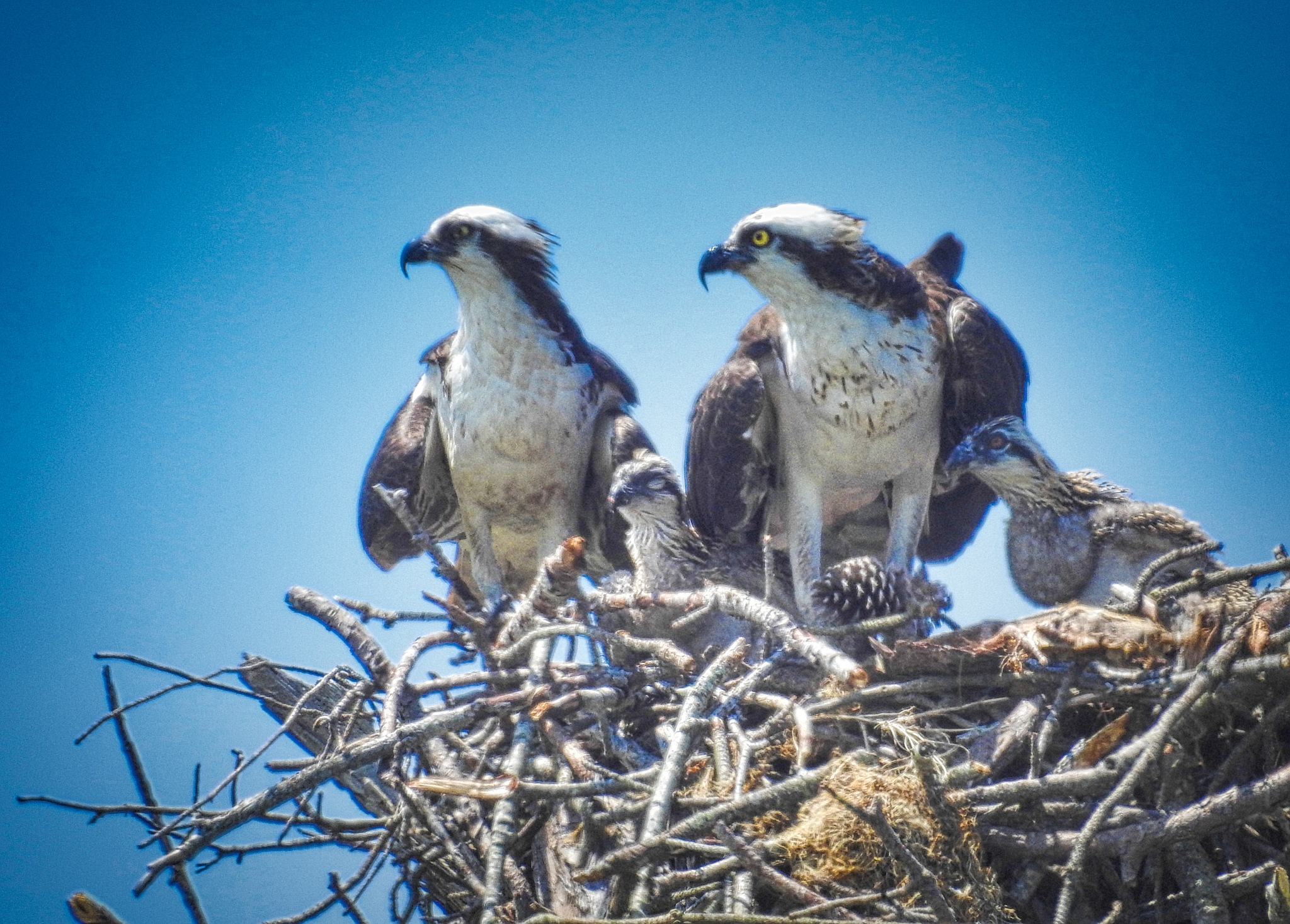 Osprey Family by Daria