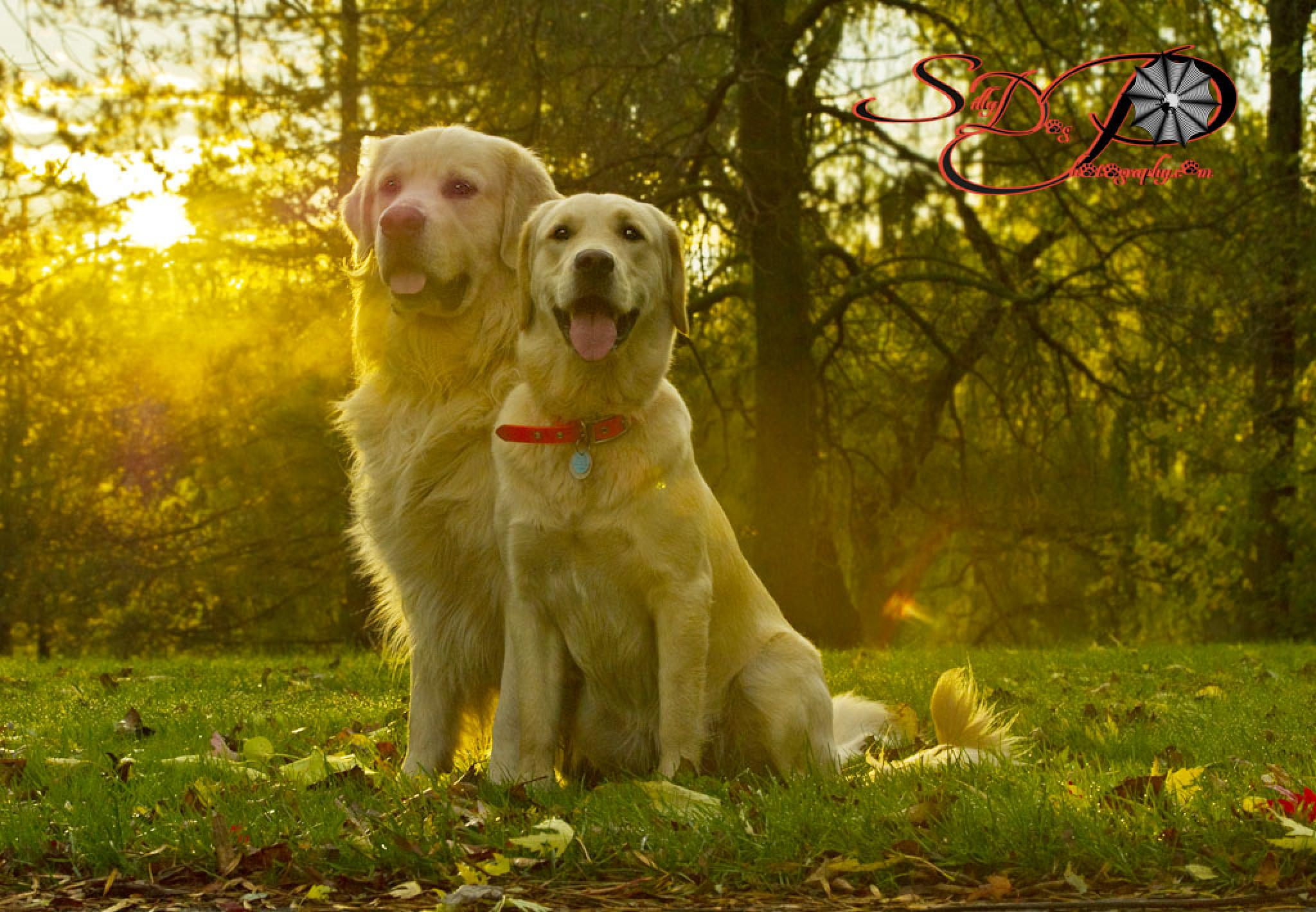 2 Goldens in the golden sunlight  by SillyDogPhotography