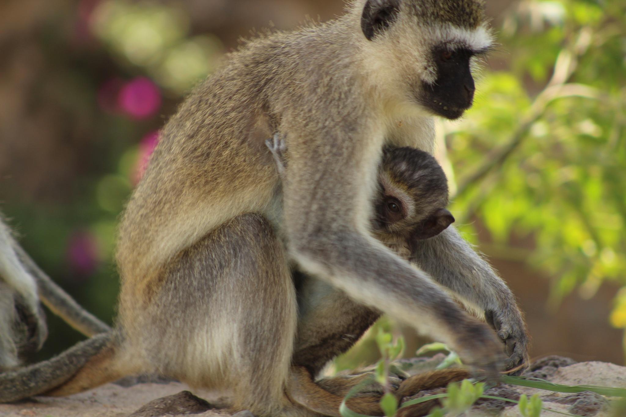 Photo in Animal #monkey #baby #mother #hiding #peeking #motherly love #amboseli #kenya #africa #nature #wildlife