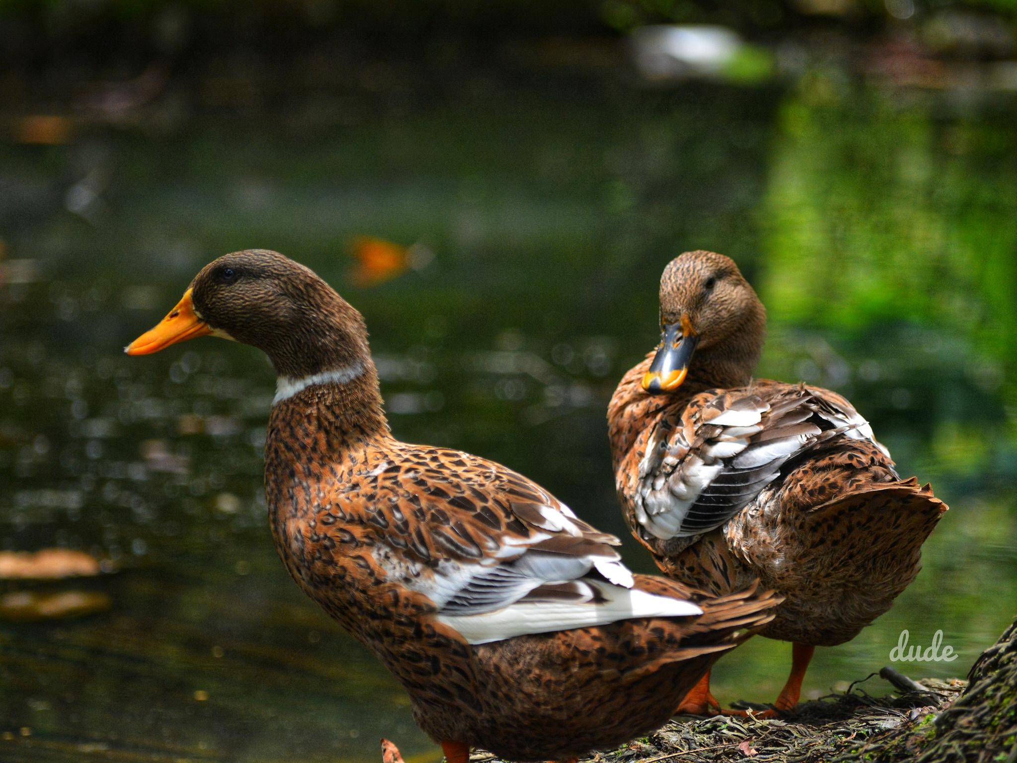 Photo in Random #ducks #nature #photogrpahy #shots